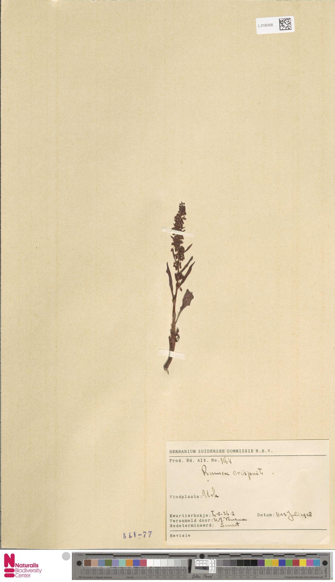 L.3192456 | Rumex crispus L.