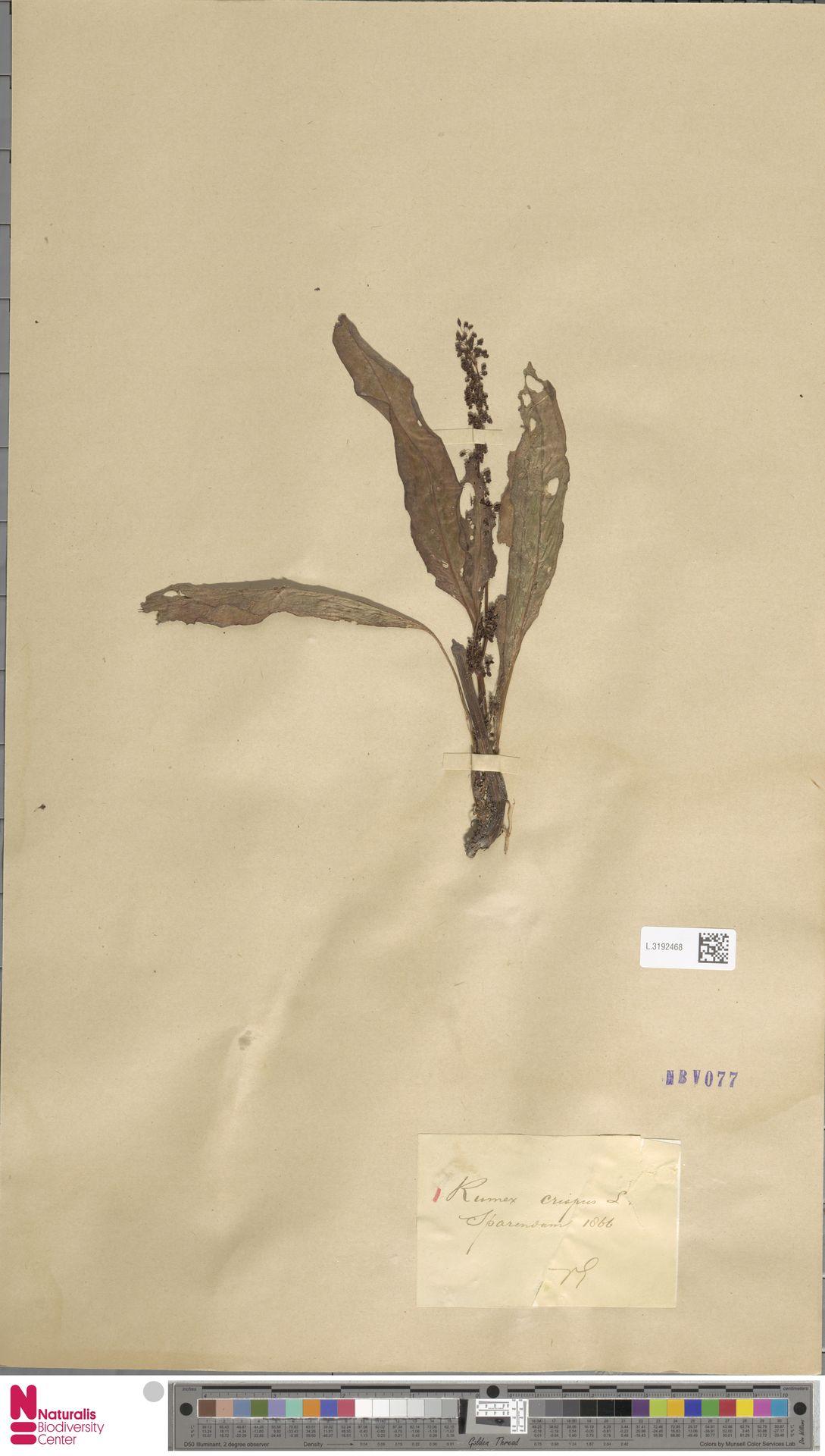 L.3192468 | Rumex crispus L.