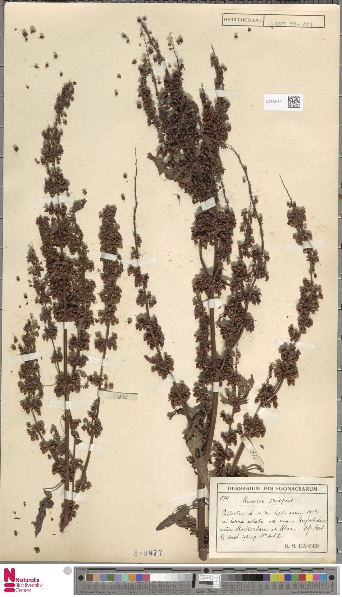 L.3192482 | Rumex crispus L.