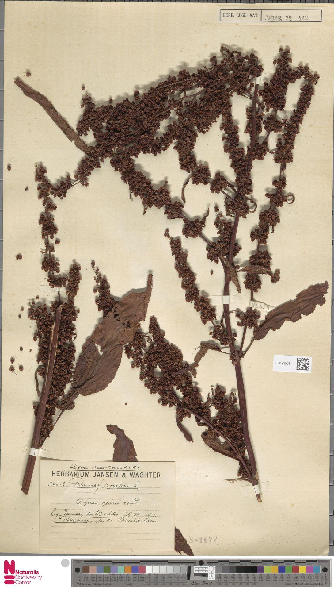 L.3192501   Rumex crispus L.
