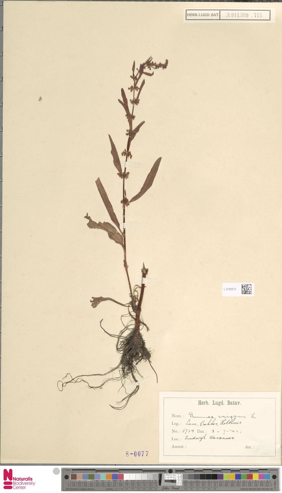L.3192512 | Rumex crispus L.