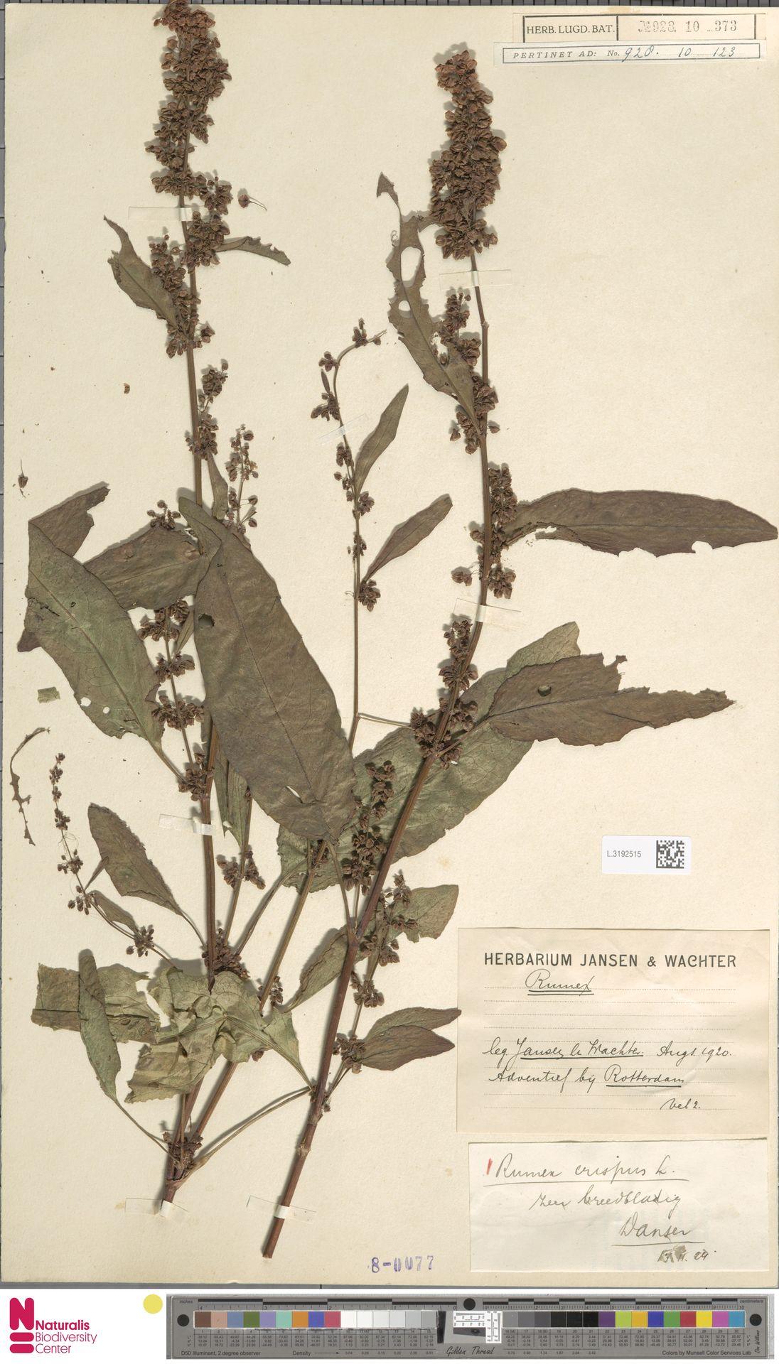 L.3192515   Rumex crispus L.