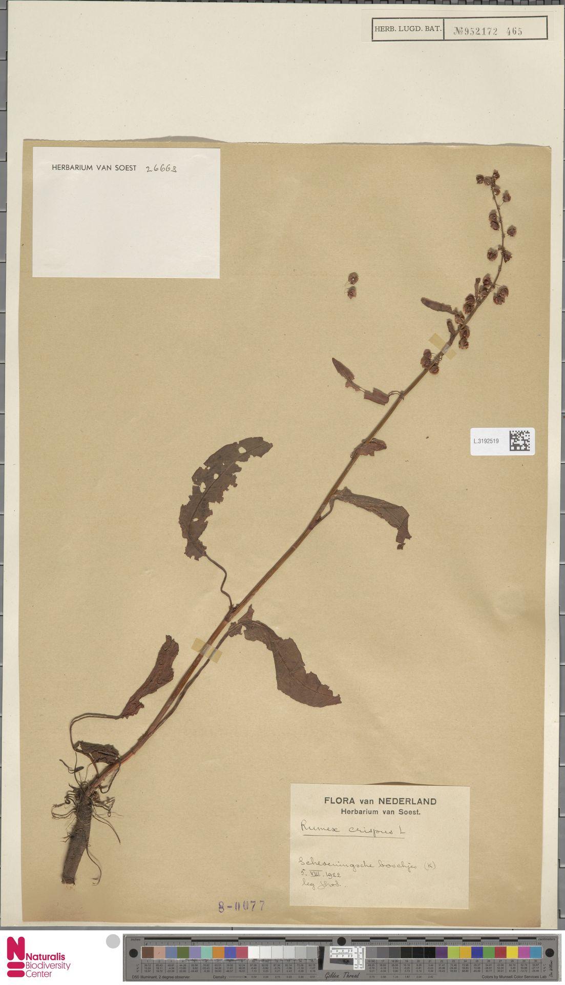 L.3192519 | Rumex crispus L.