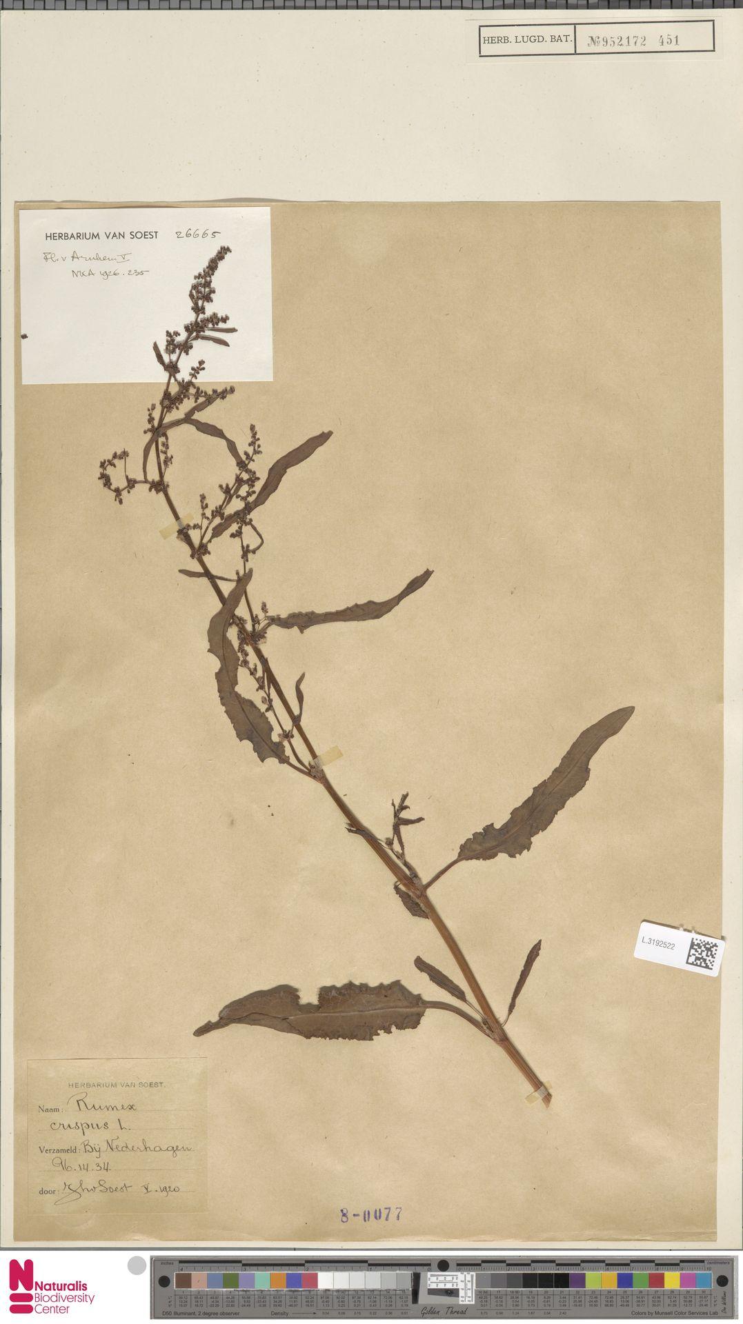 L.3192522 | Rumex crispus L.