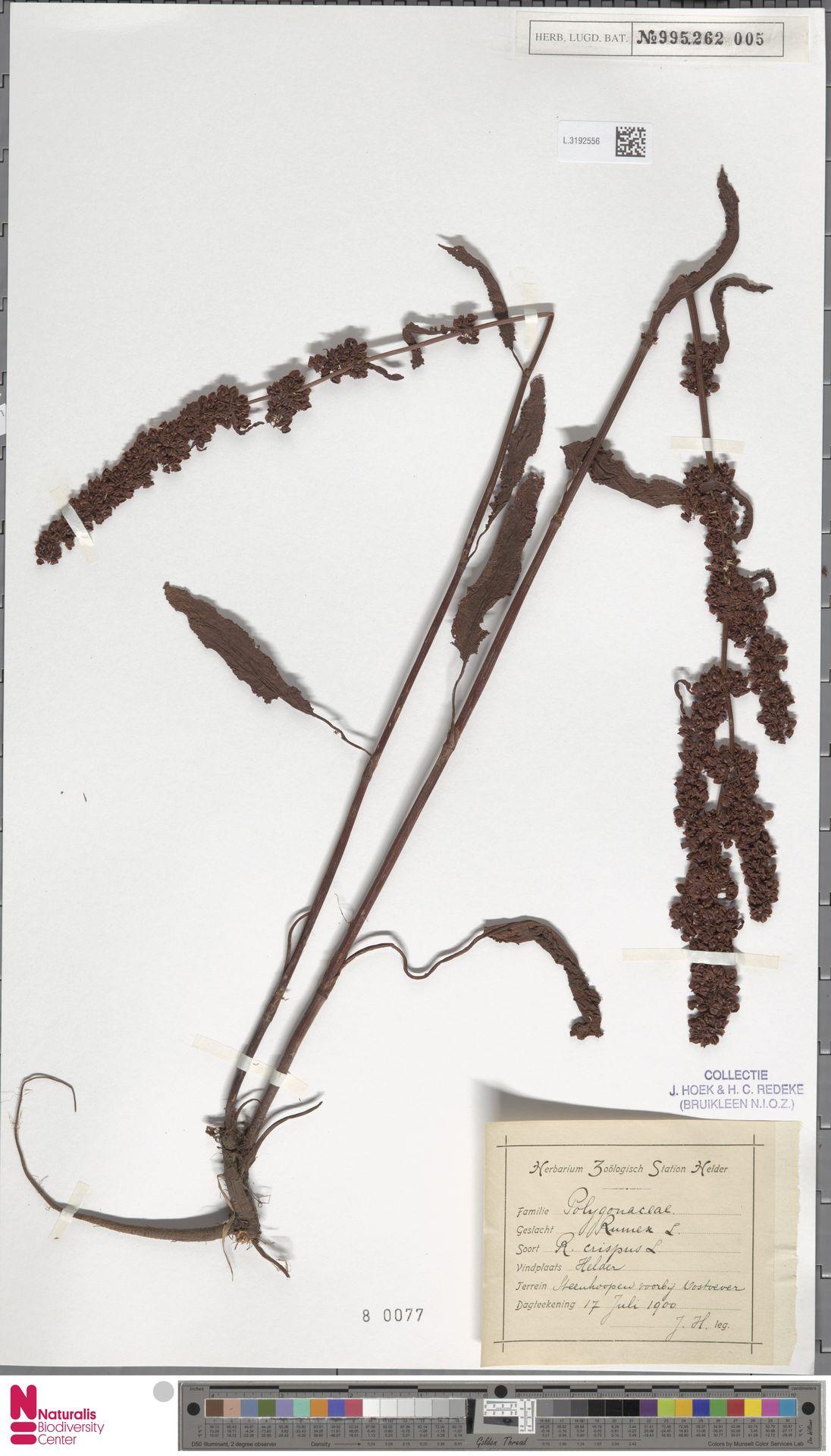 L.3192556 | Rumex crispus L.