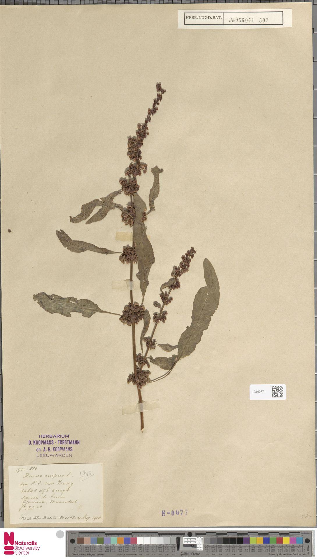 L.3192571 | Rumex crispus L.