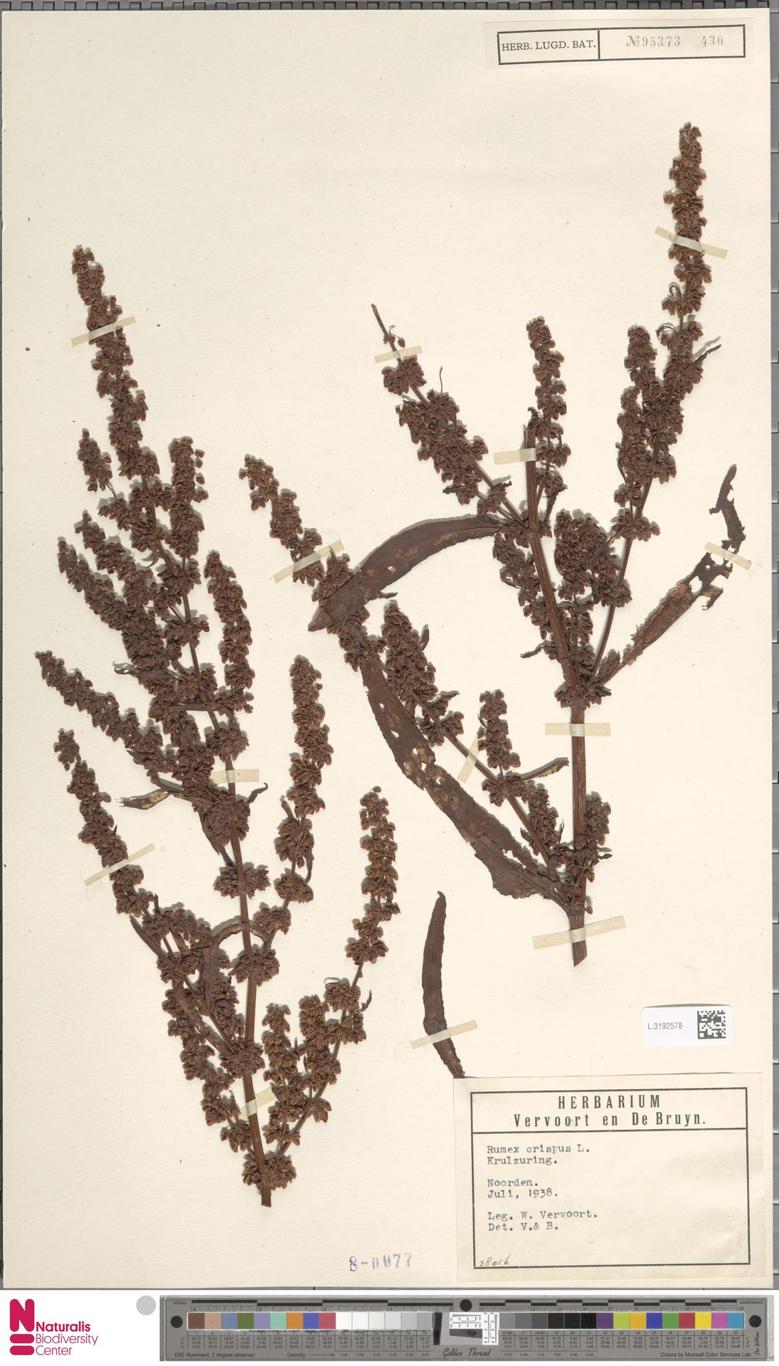 L.3192578 | Rumex crispus L.