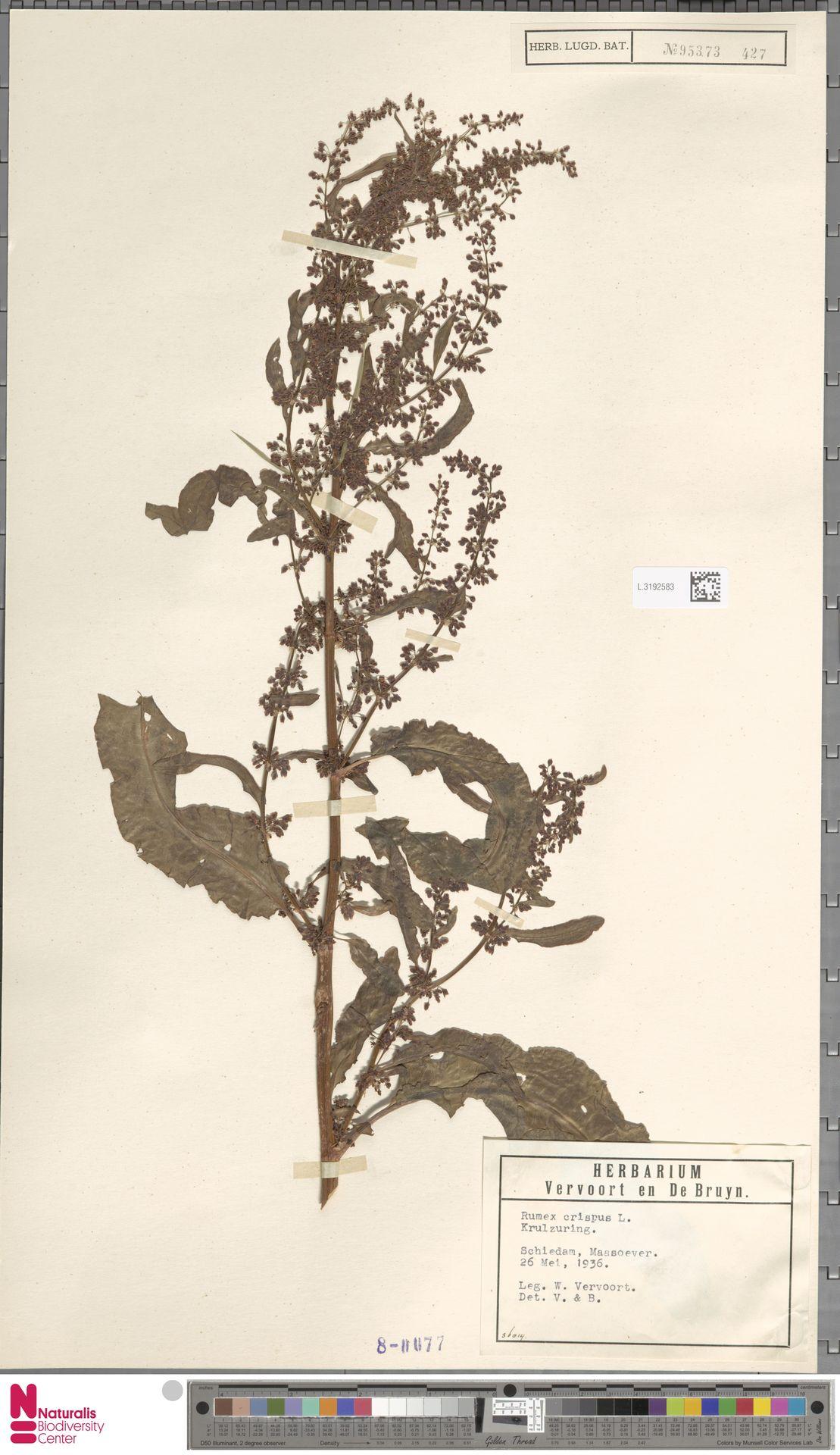 L.3192583 | Rumex crispus L.