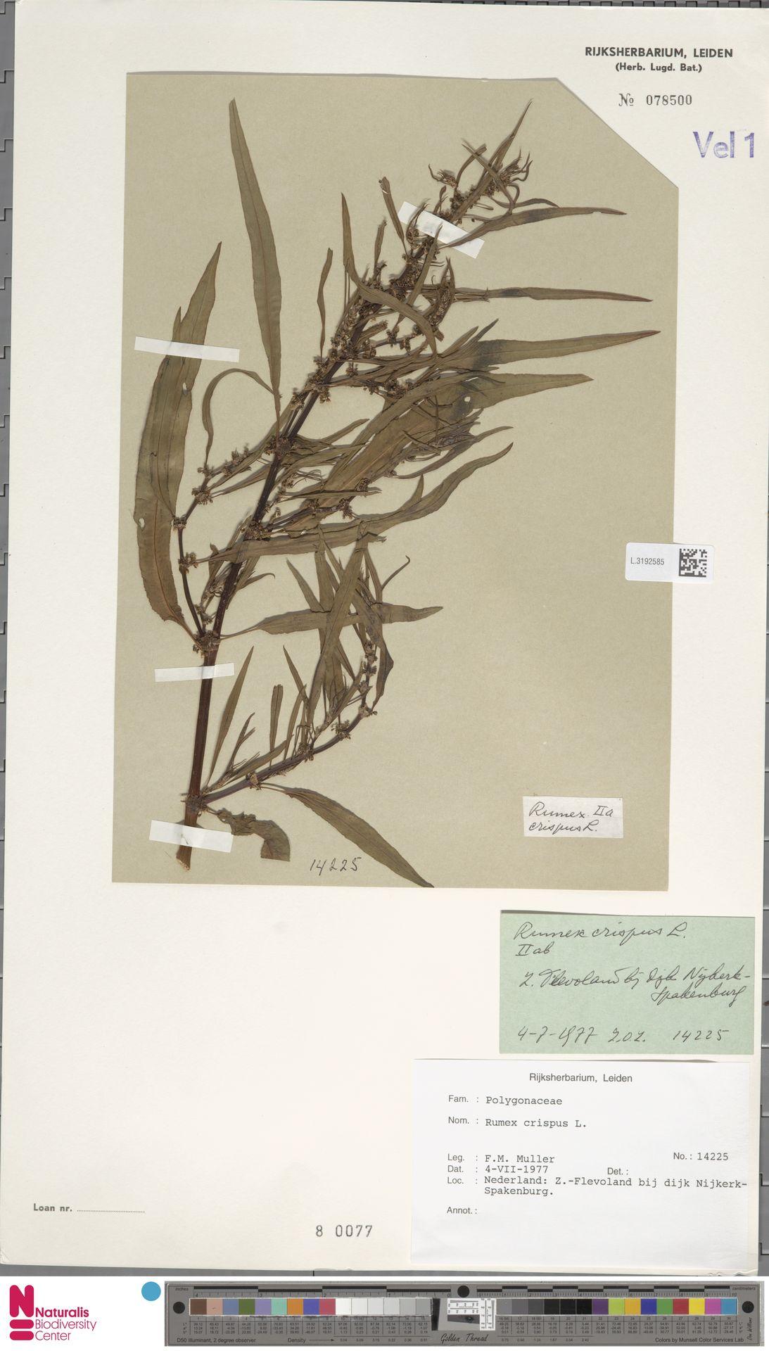 L.3192585 | Rumex crispus L.