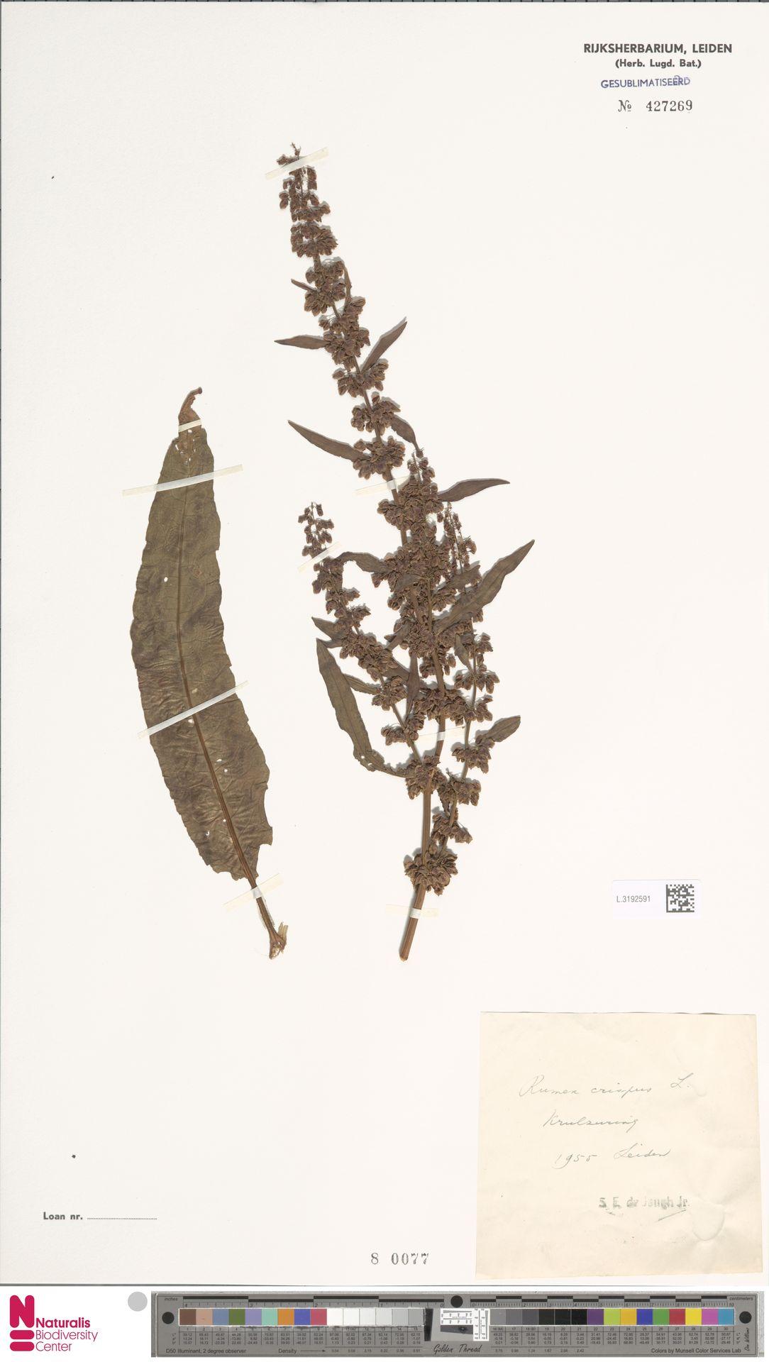 L.3192591 | Rumex crispus L.