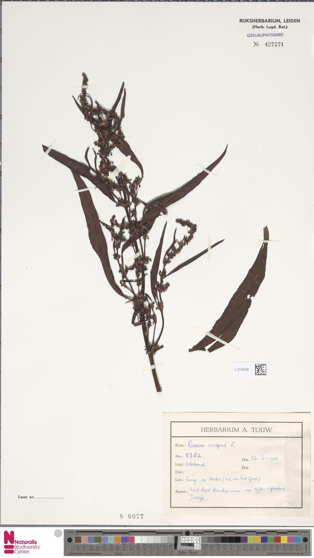 L.3192592 | Rumex crispus L.