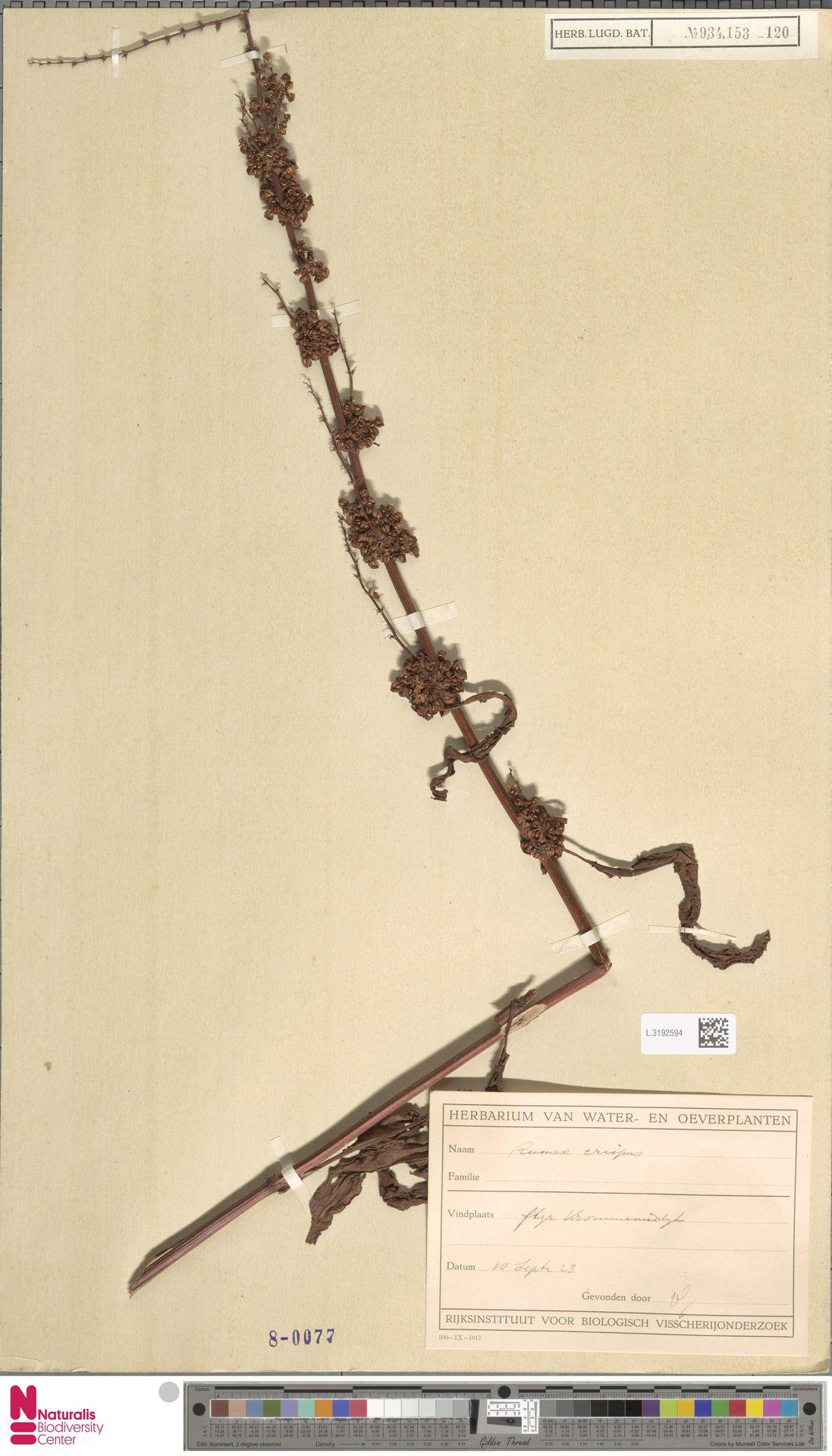 L.3192594 | Rumex crispus L.