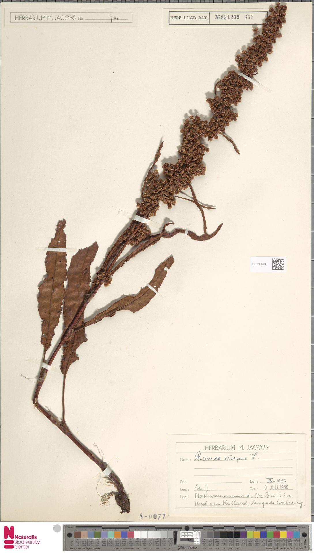 L.3192604 | Rumex crispus L.
