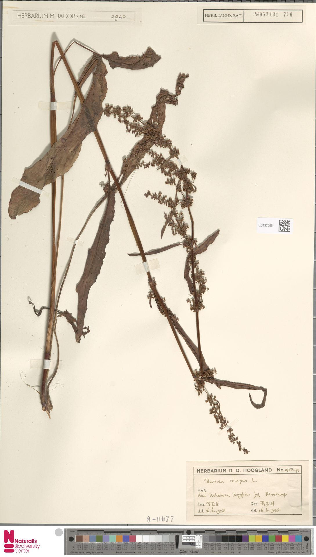 L.3192606 | Rumex crispus L.