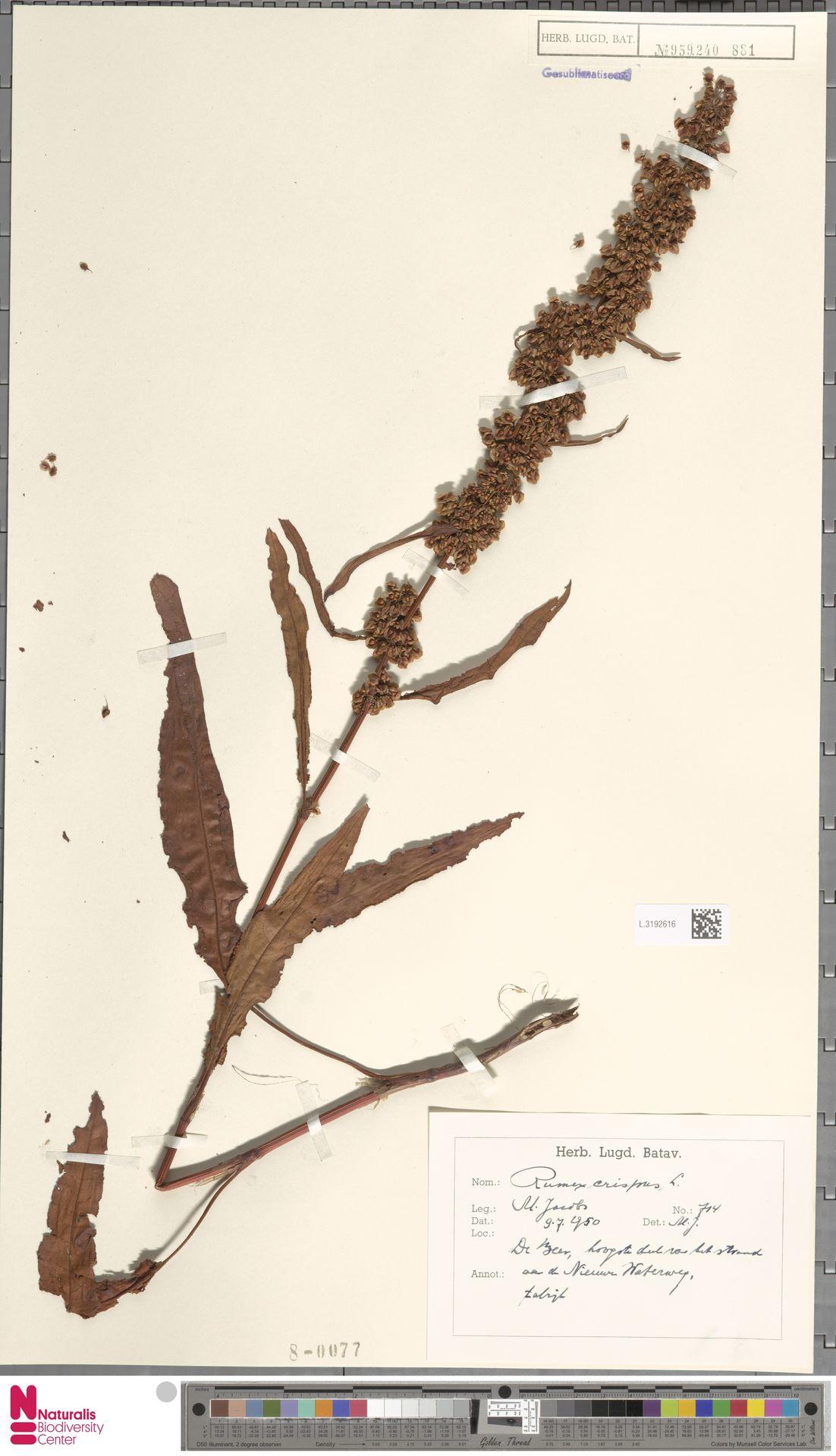 L.3192616   Rumex crispus L.