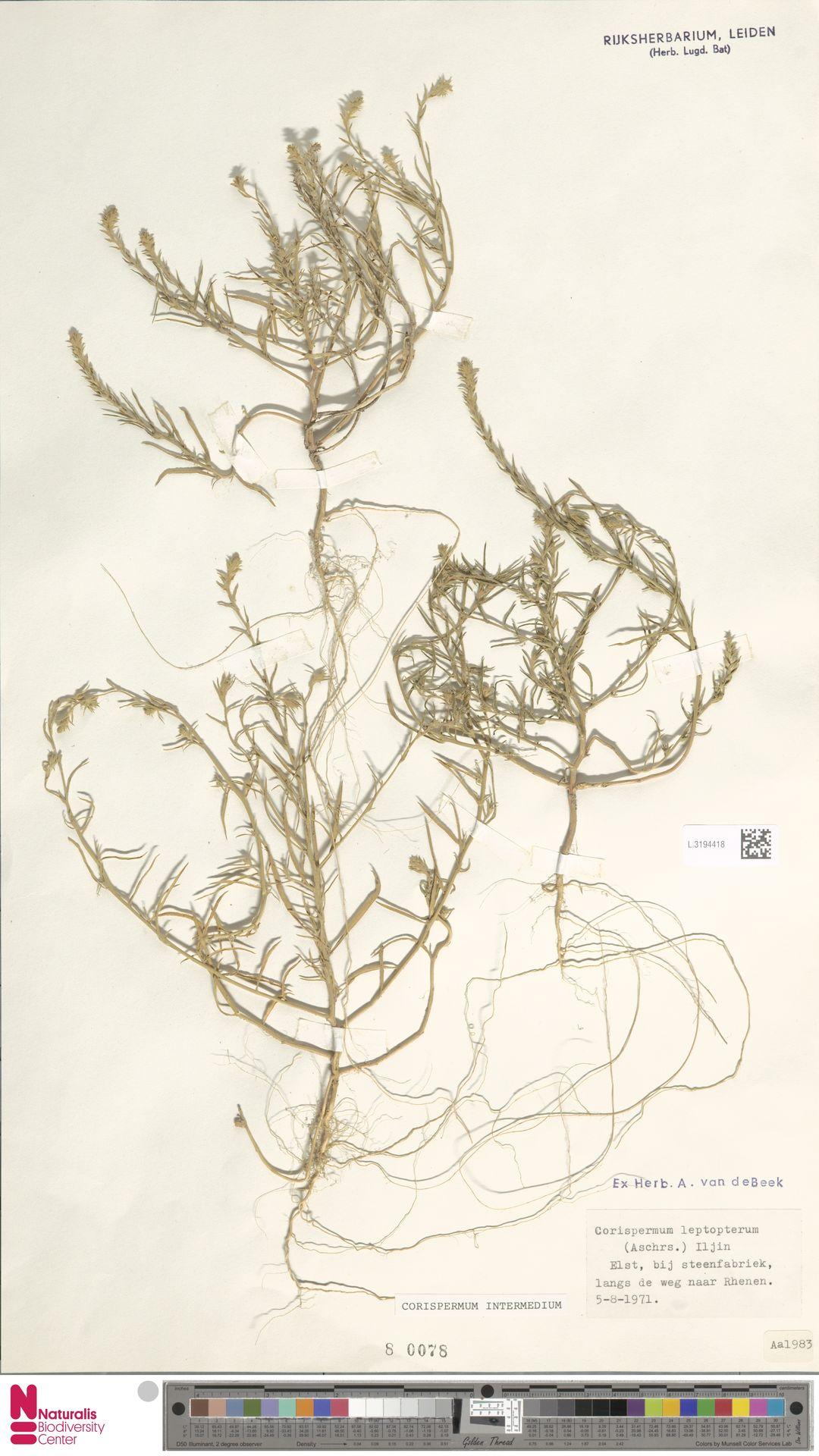 L.3194418 | Corispermum intermedium Schweigg.