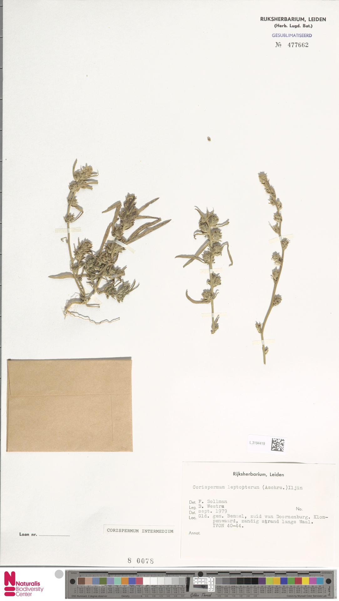 L.3194419 | Corispermum intermedium Schweigg.