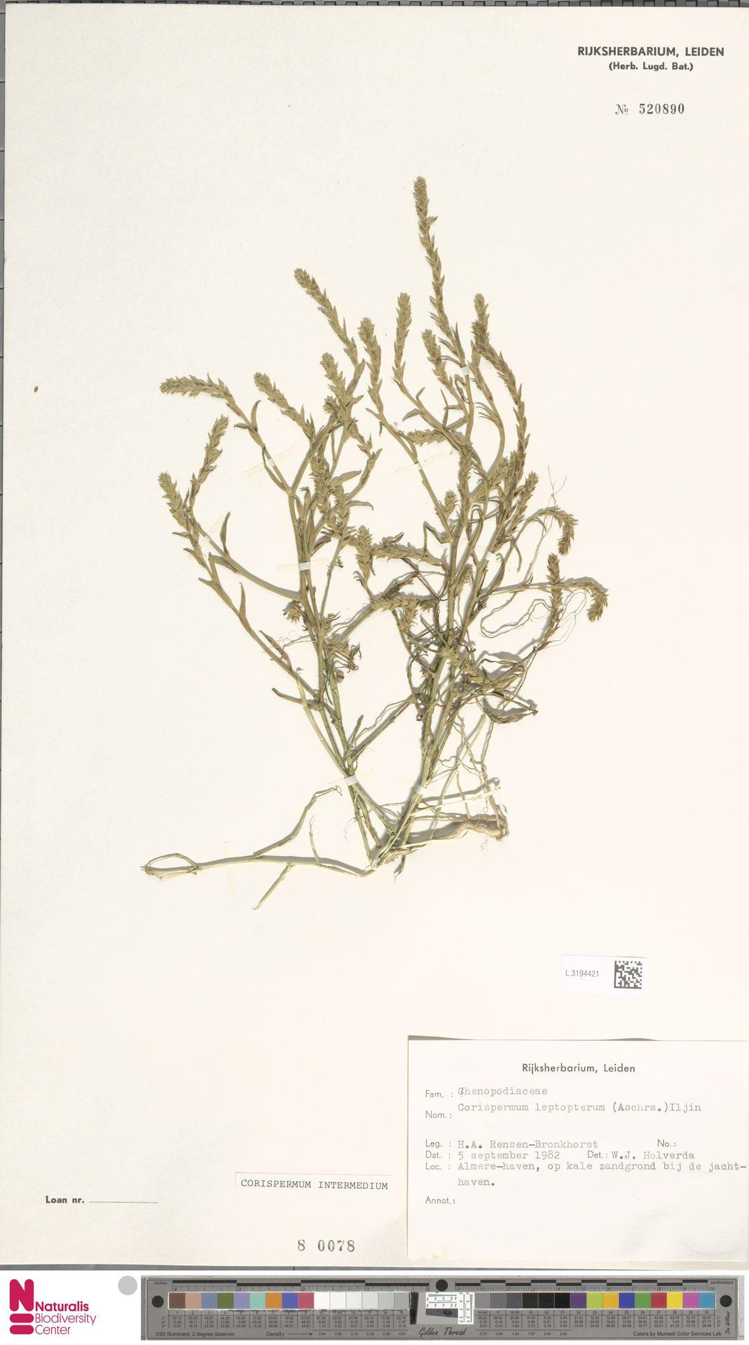 L.3194421 | Corispermum intermedium Schweigg.