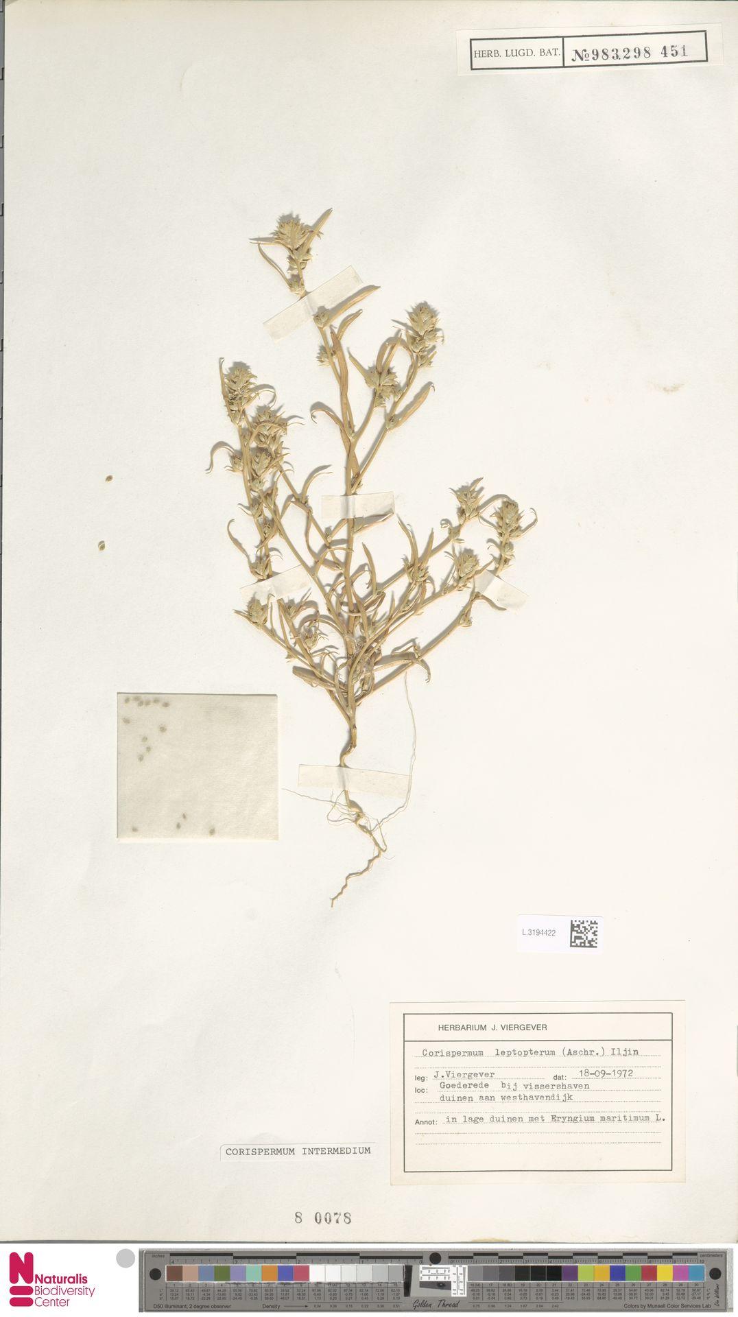 L.3194422 | Corispermum intermedium Schweigg.