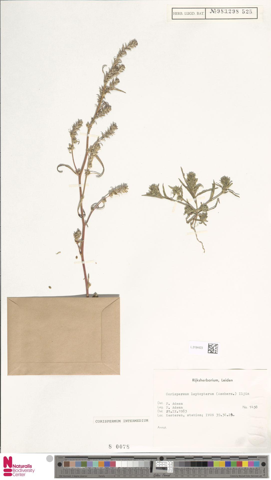 L.3194423 | Corispermum intermedium Schweigg.