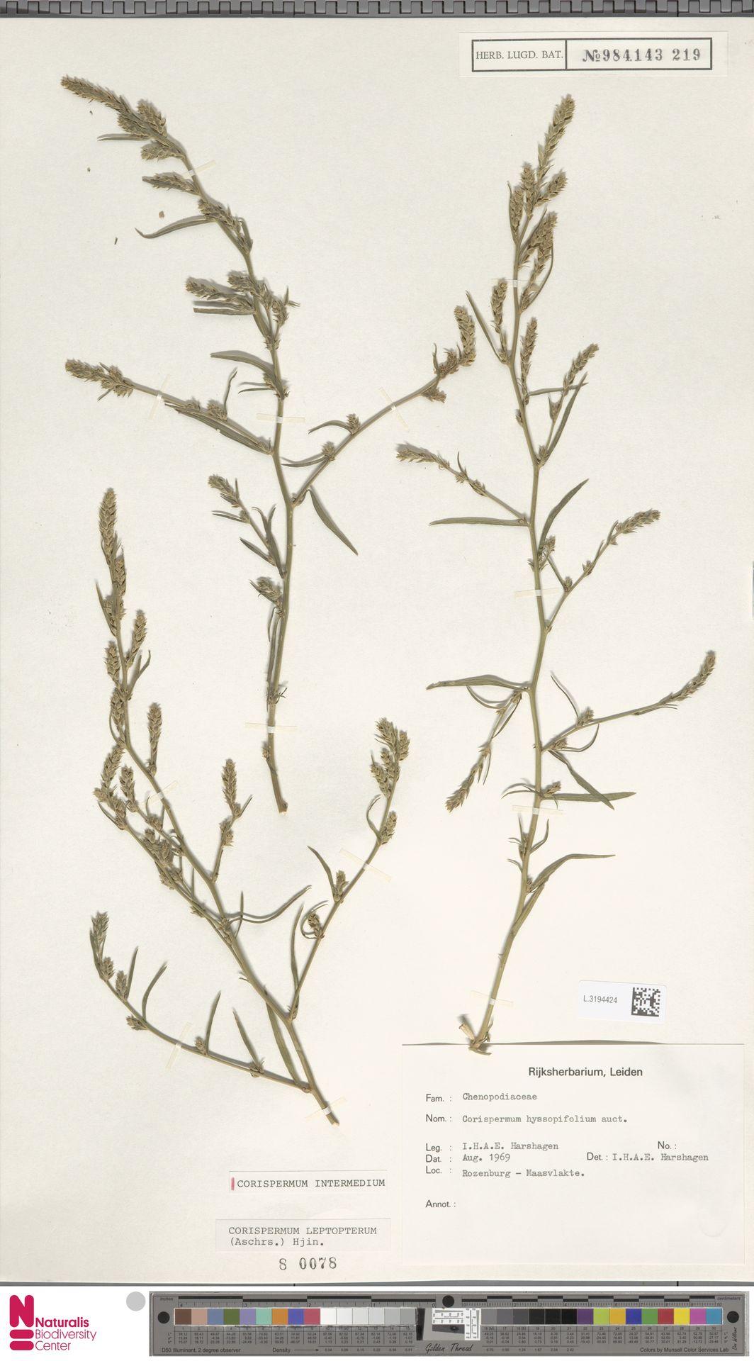 L.3194424 | Corispermum intermedium Schweigg.