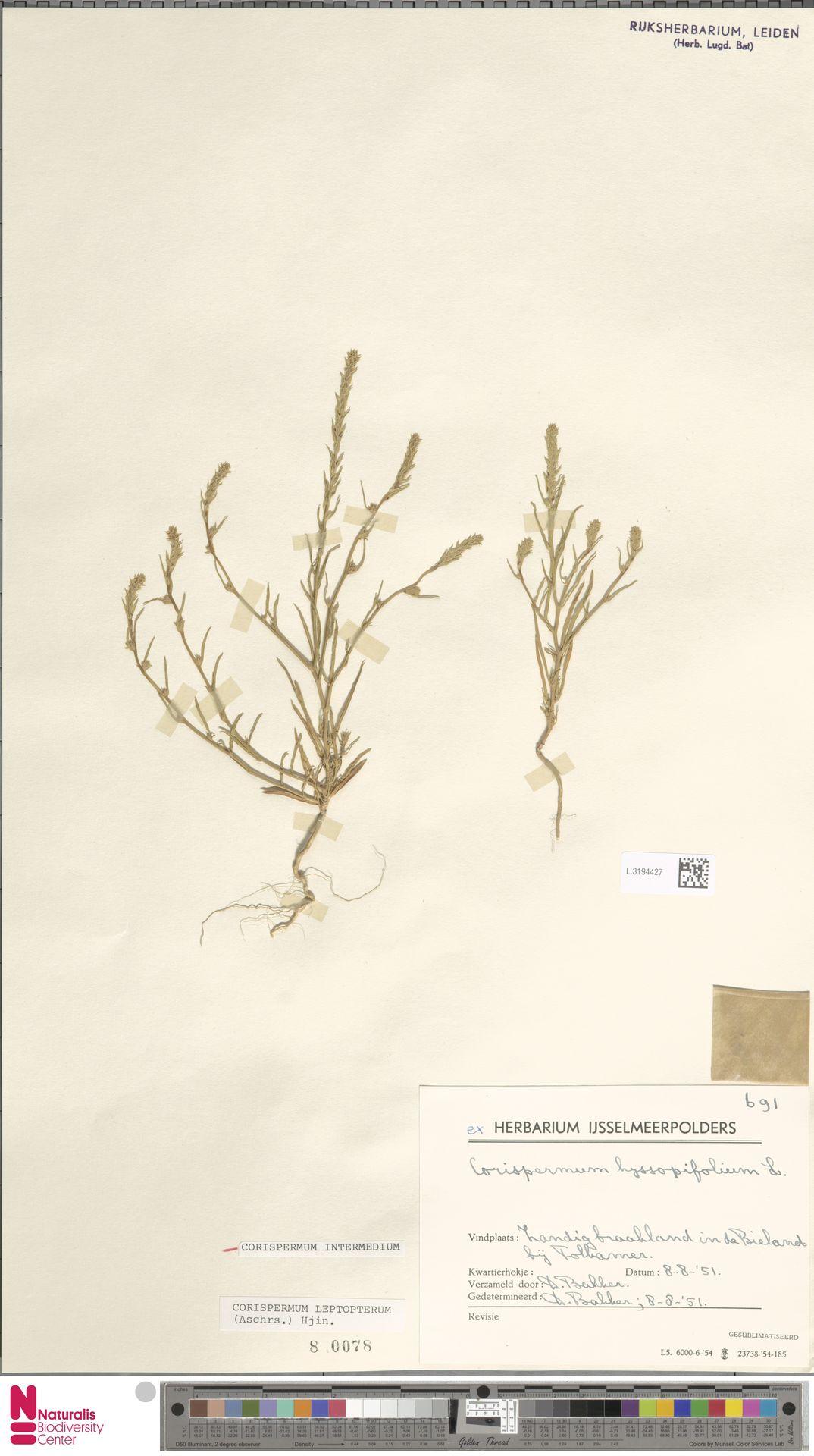 L.3194427 | Corispermum intermedium Schweigg.