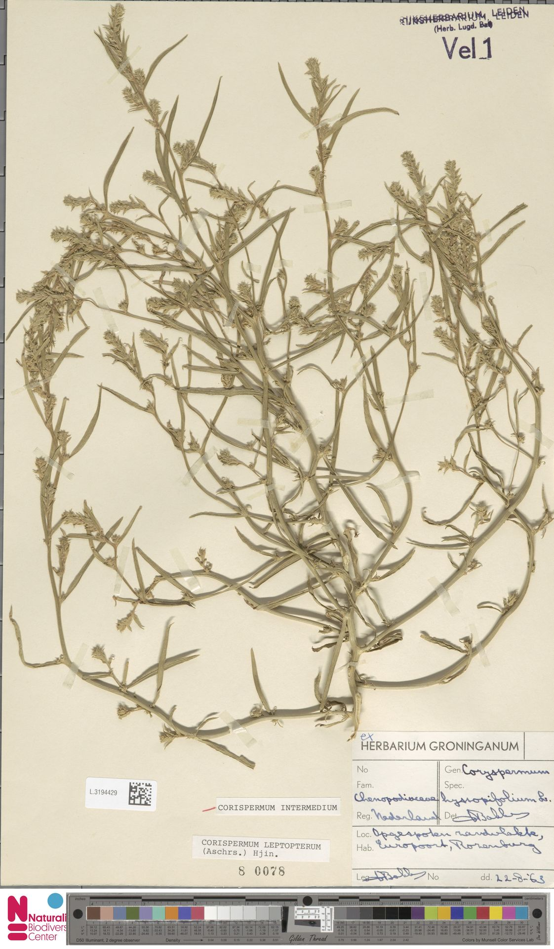 L.3194429 | Corispermum intermedium Schweigg.