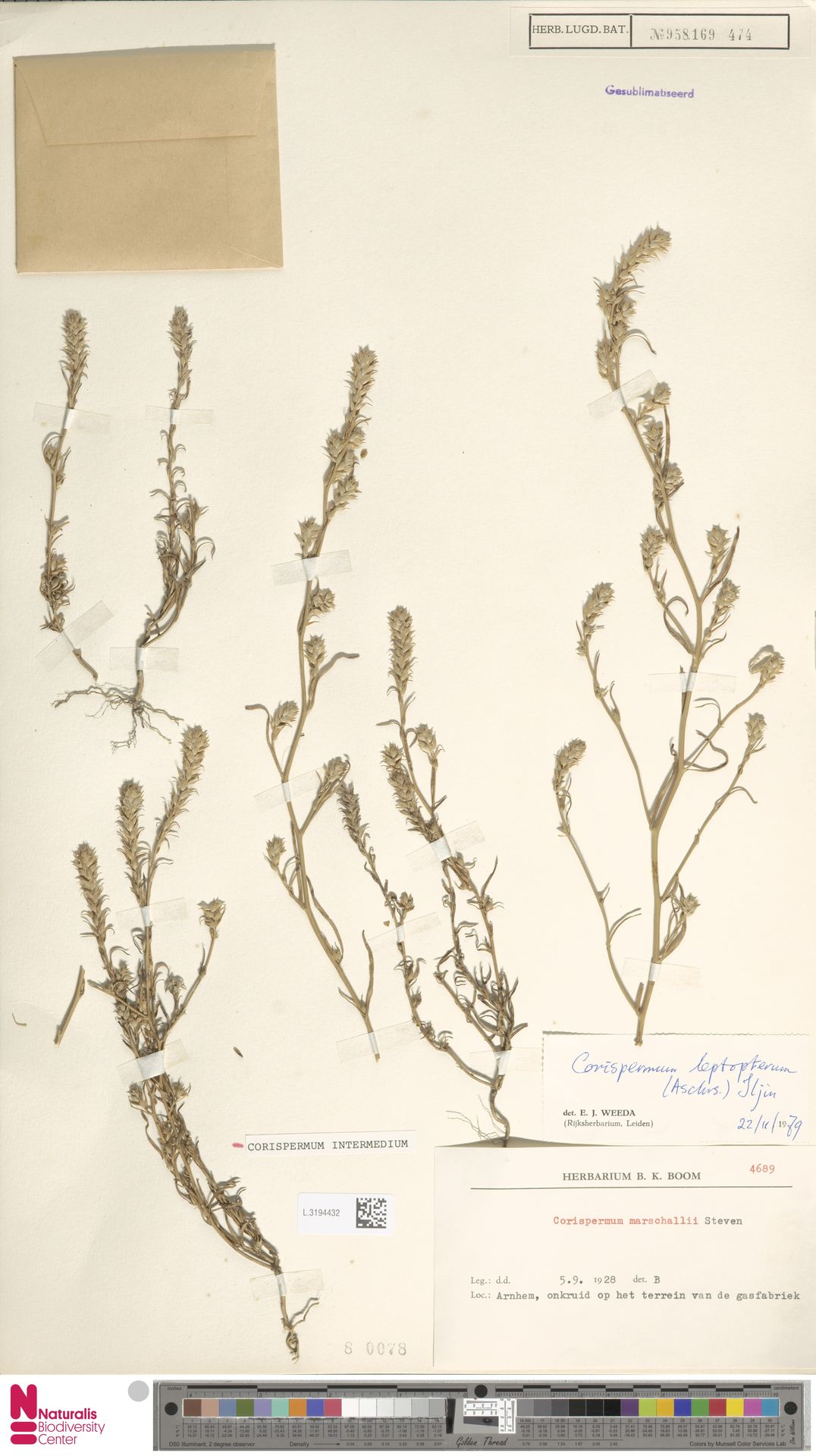 L.3194432 | Corispermum intermedium Schweigg.