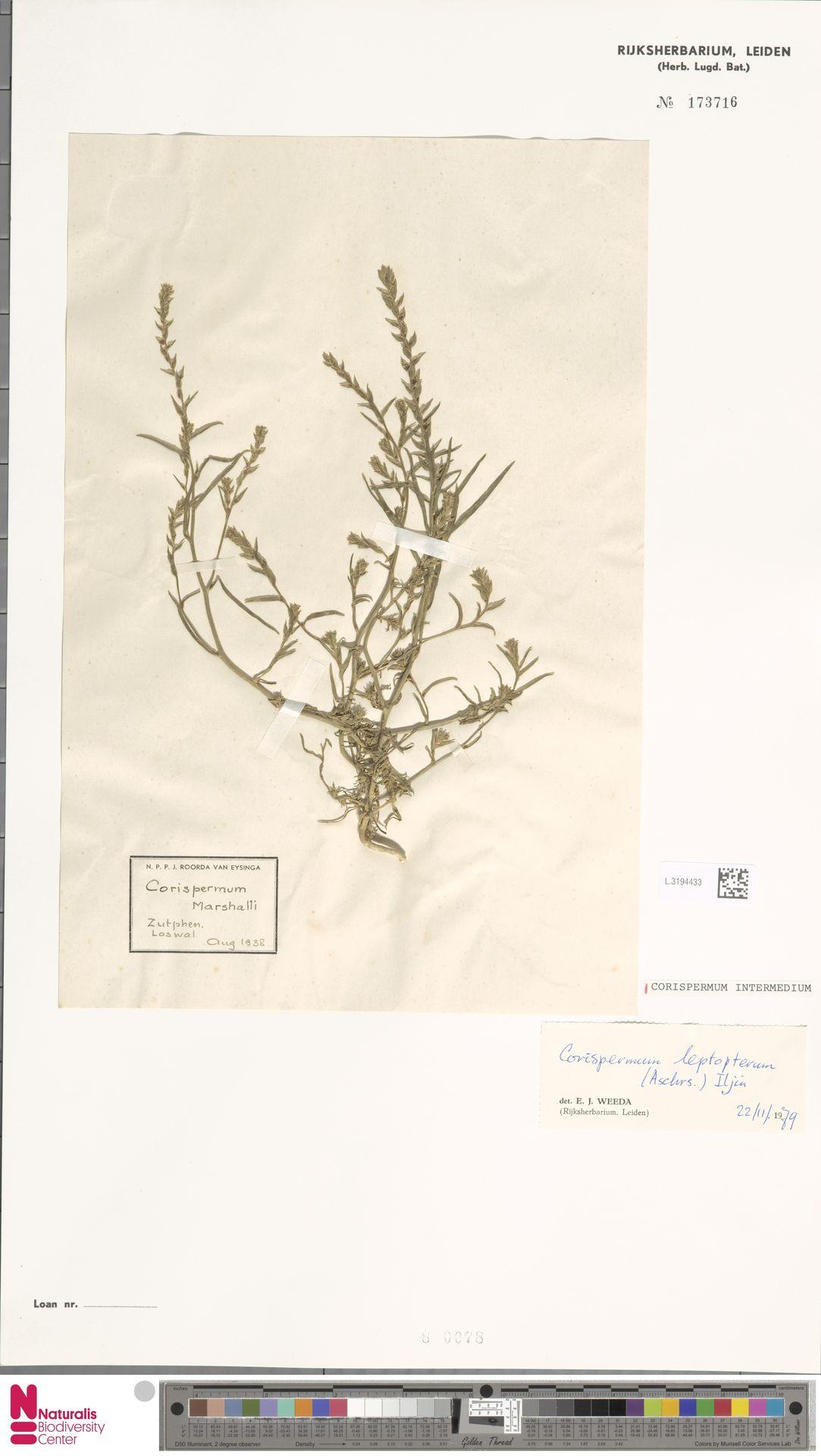 L.3194433 | Corispermum intermedium Schweigg.