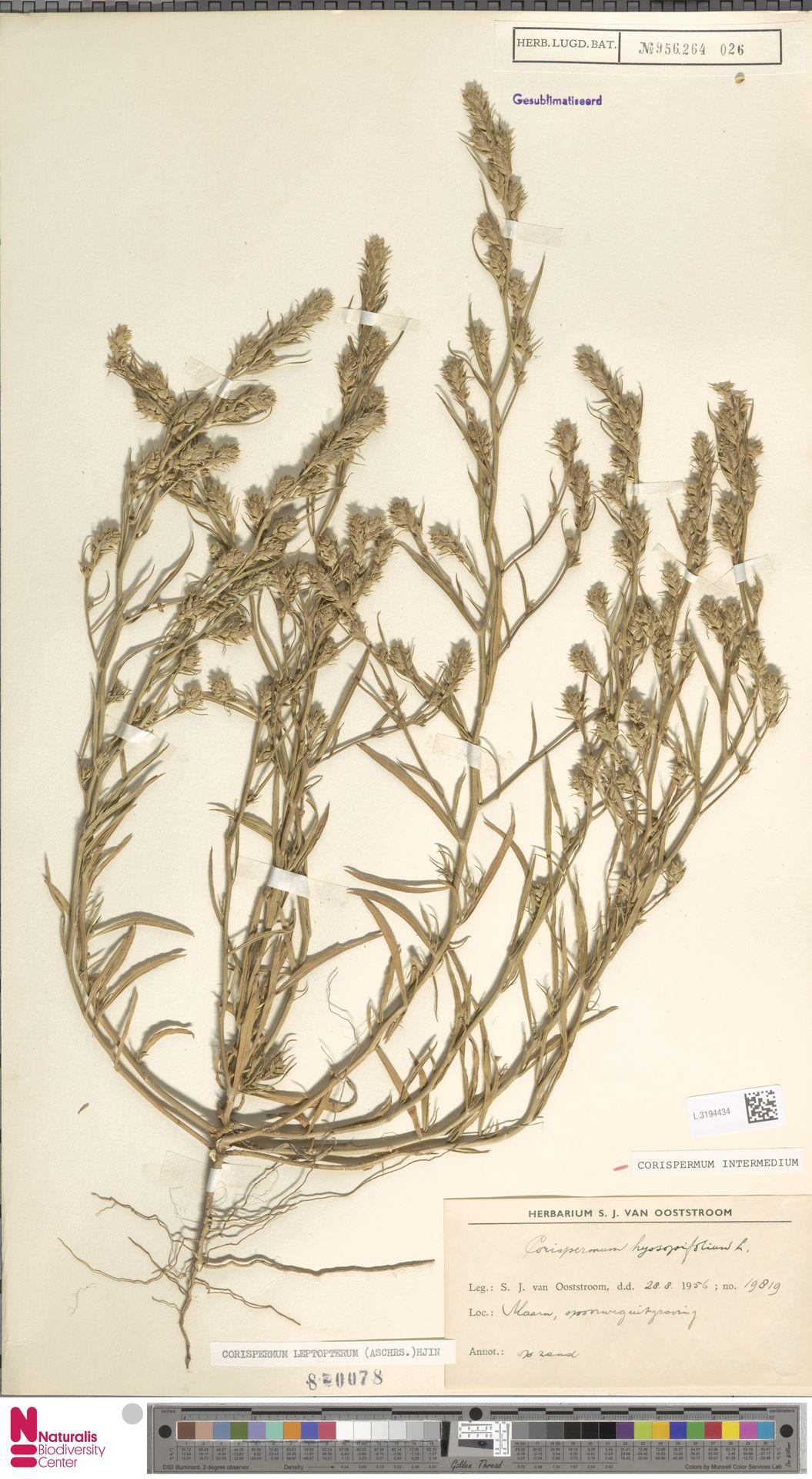 L.3194434 | Corispermum intermedium Schweigg.