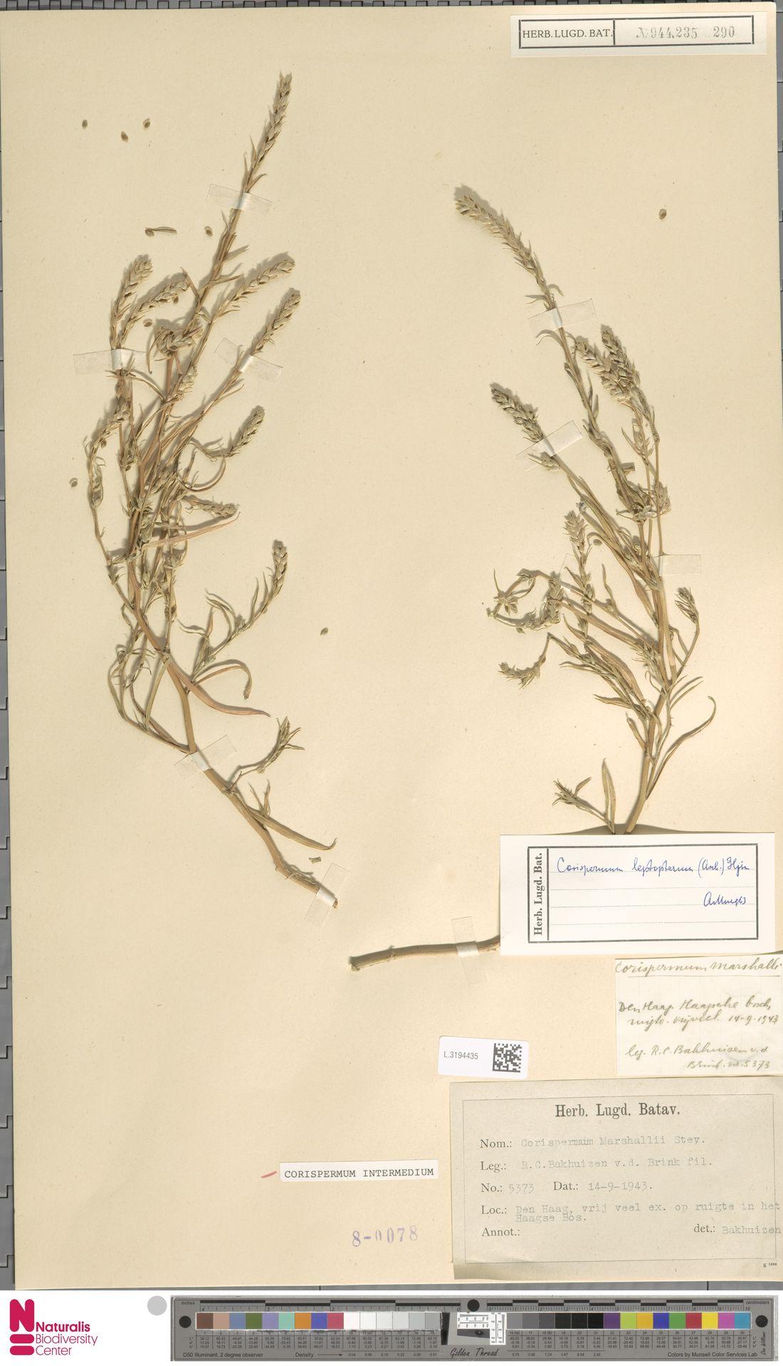 L.3194435 | Corispermum intermedium Schweigg.