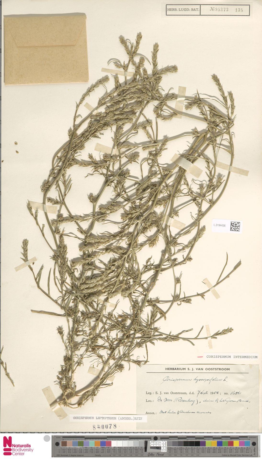 L.3194436 | Corispermum intermedium Schweigg.