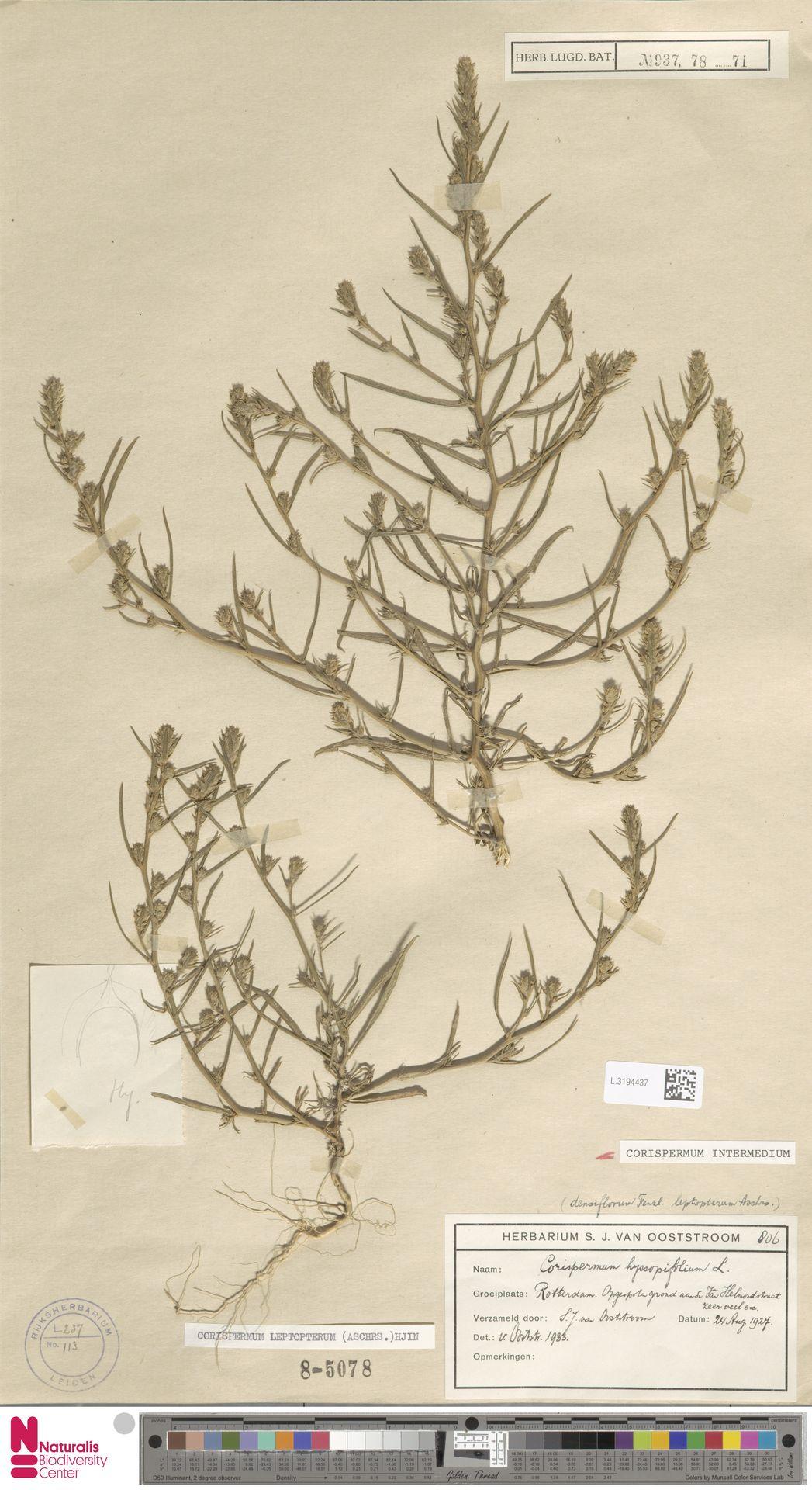 L.3194437 | Corispermum intermedium Schweigg.