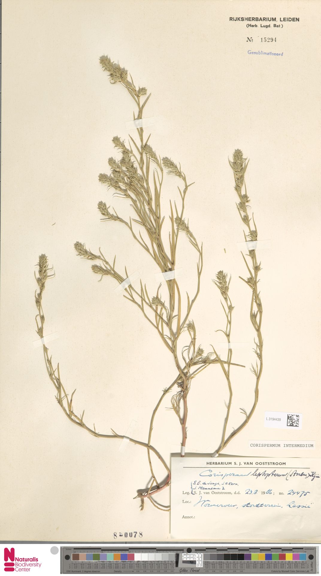 L.3194439   Corispermum intermedium Schweigg.