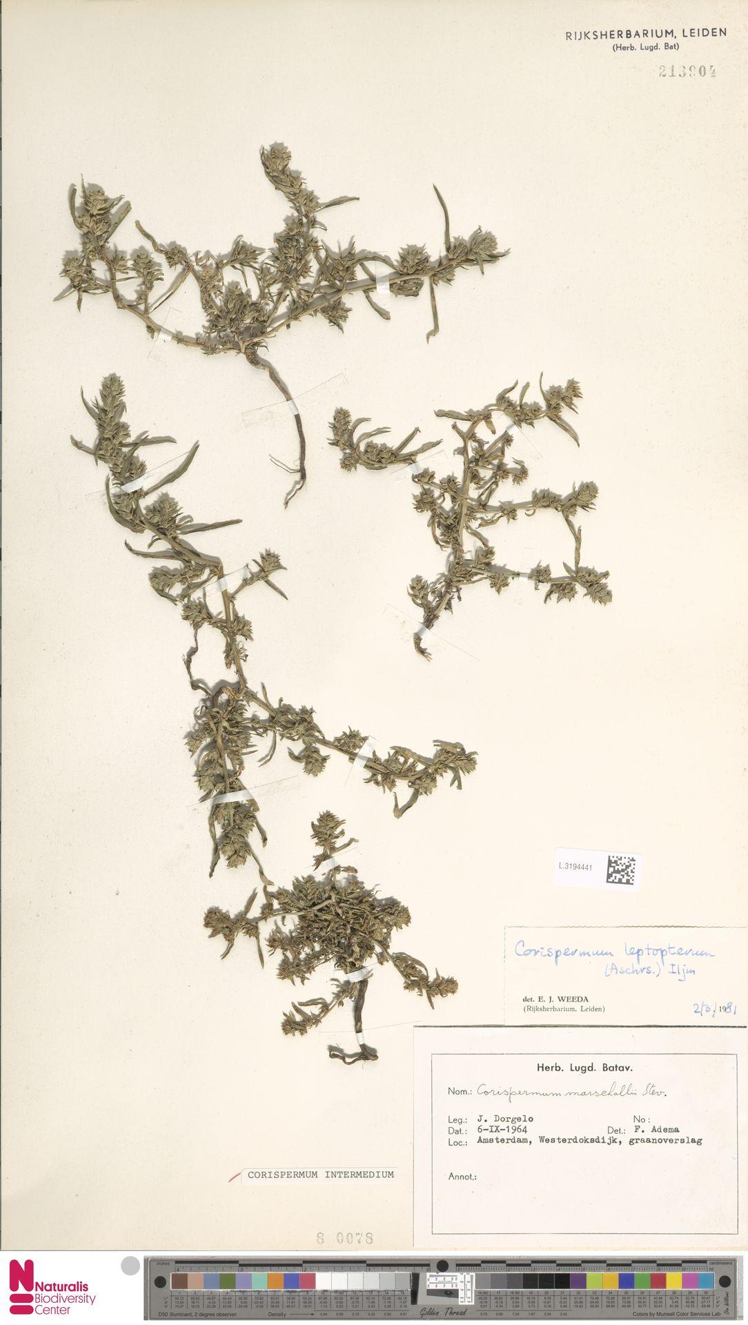 L.3194441   Corispermum intermedium Schweigg.