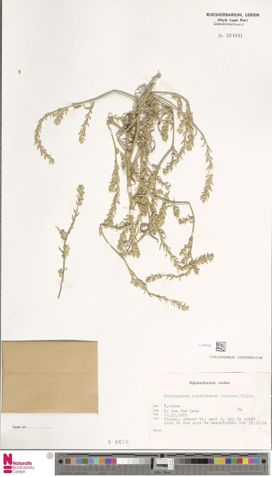 L.3194446 | Corispermum intermedium Schweigg.