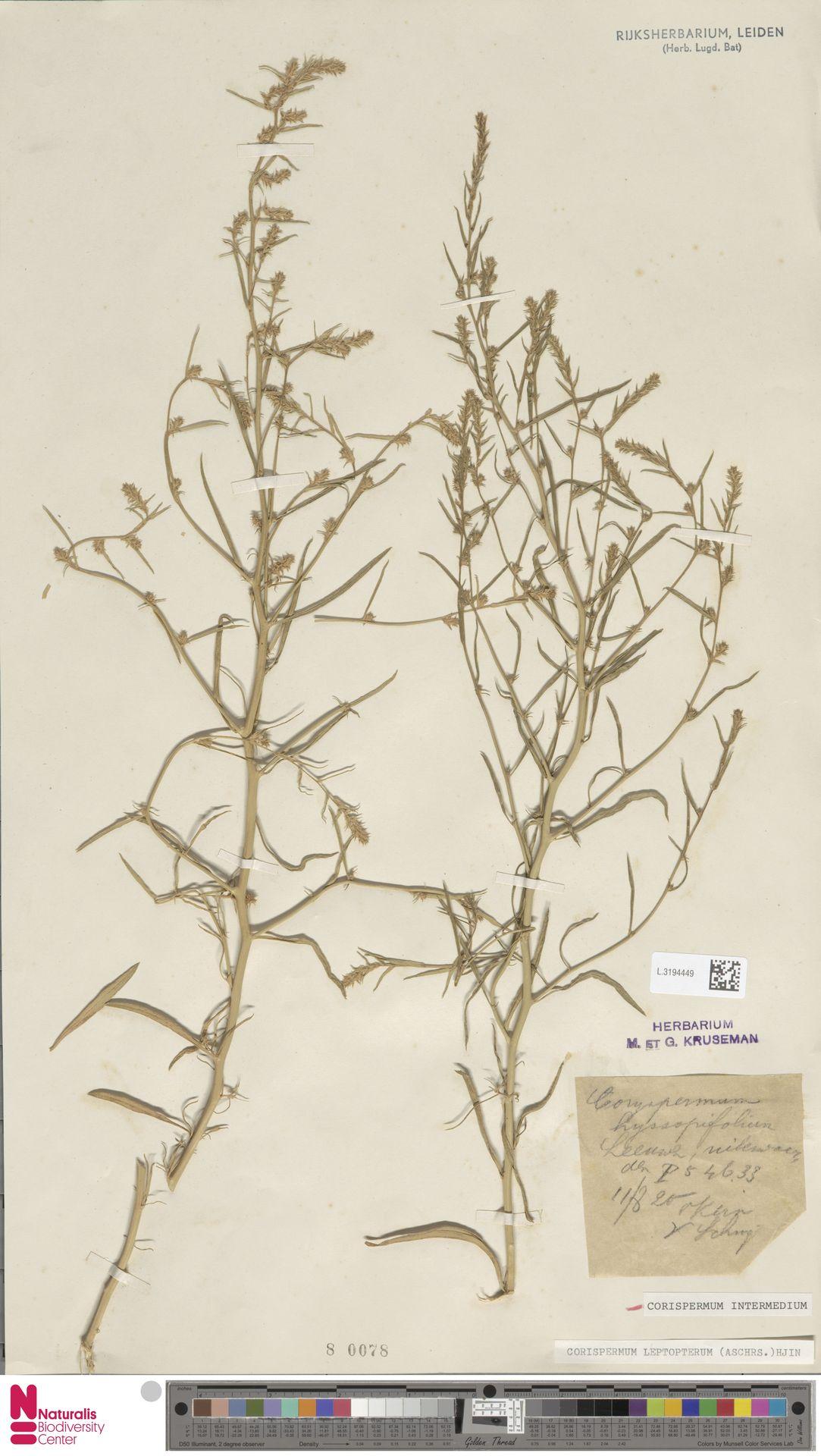 L.3194449 | Corispermum intermedium Schweigg.