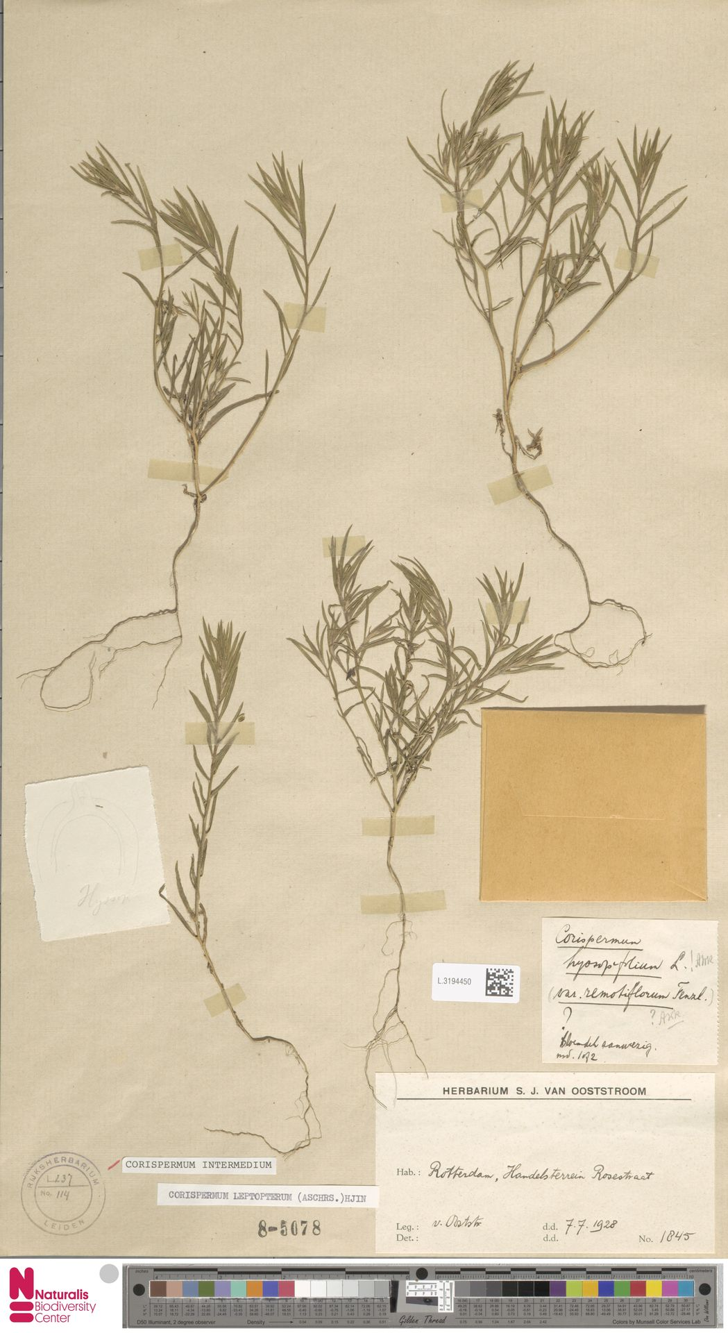 L.3194450 | Corispermum intermedium Schweigg.
