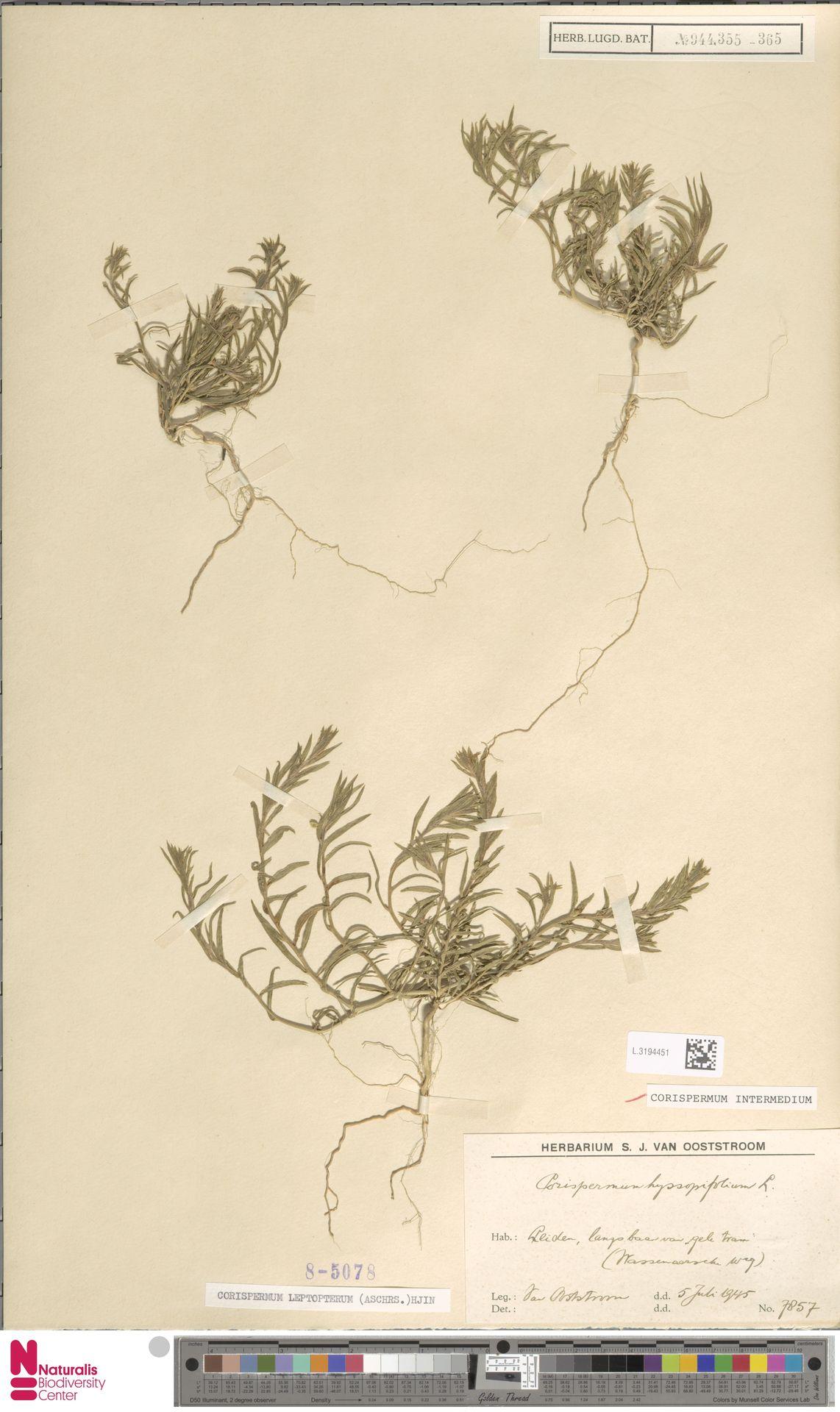L.3194451 | Corispermum intermedium Schweigg.