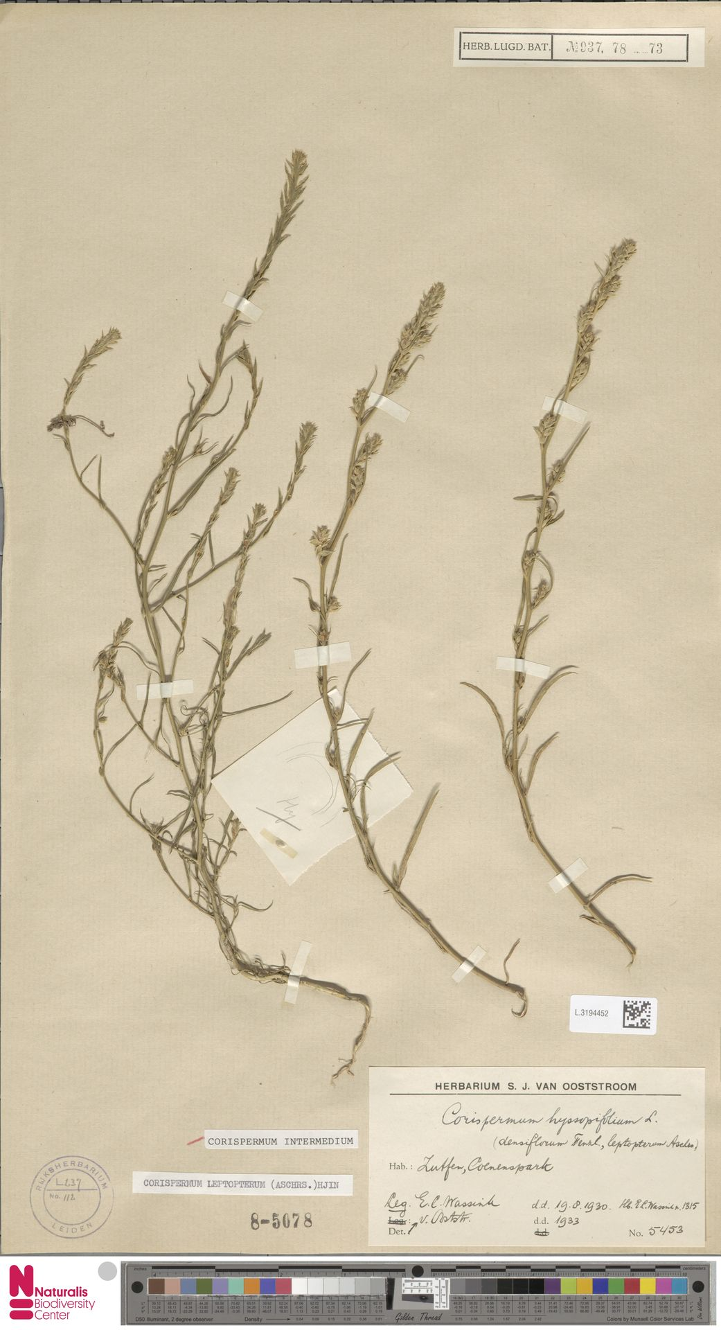 L.3194452 | Corispermum intermedium Schweigg.
