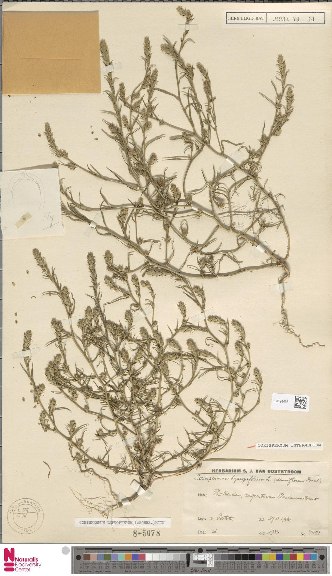 L.3194453   Corispermum intermedium Schweigg.