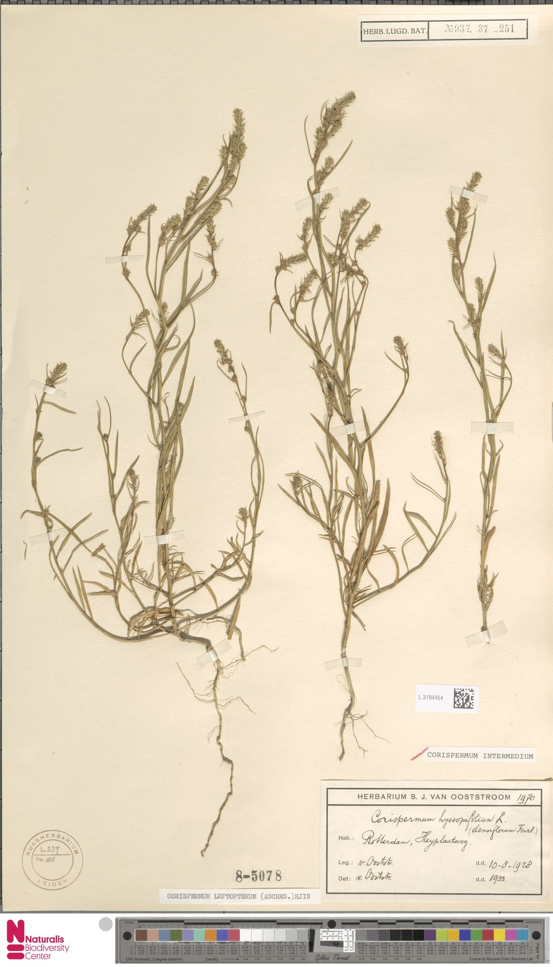 L.3194454 | Corispermum intermedium Schweigg.