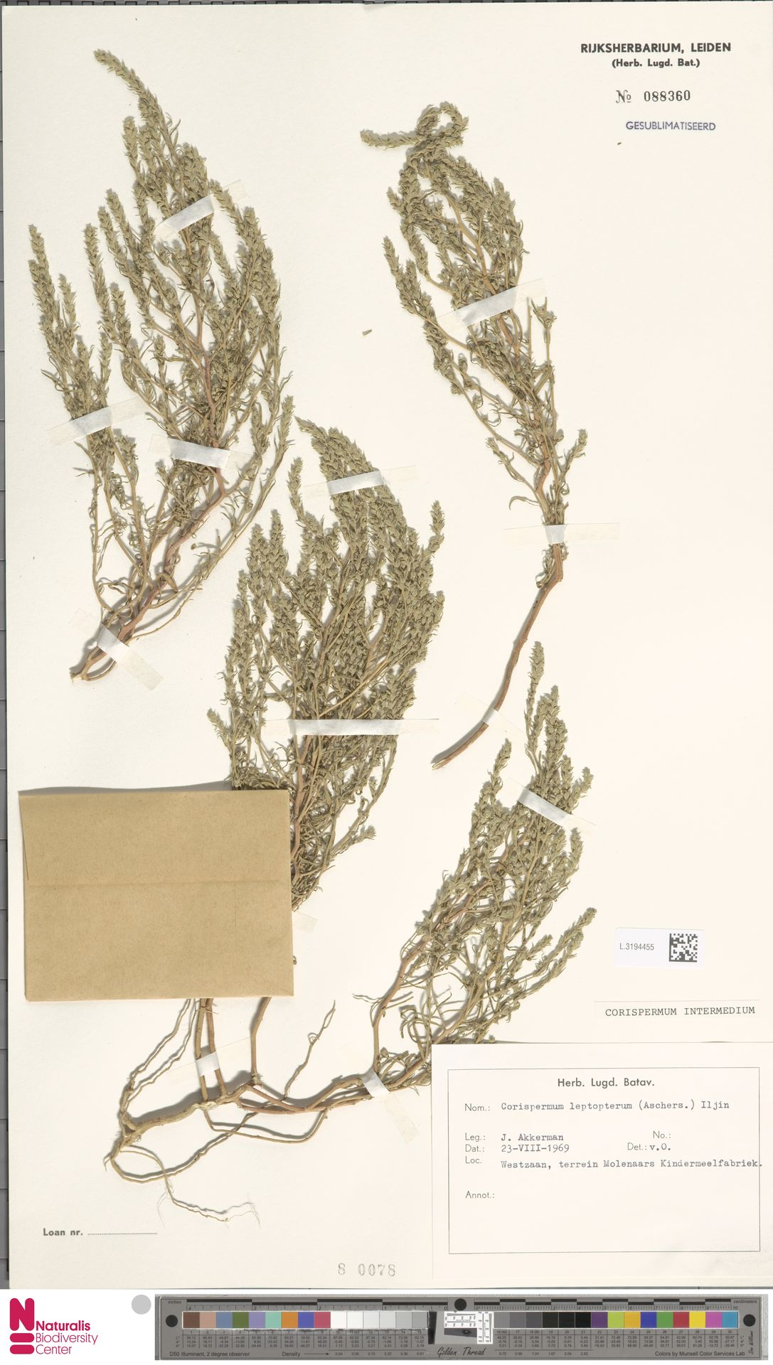 L.3194455 | Corispermum intermedium Schweigg.
