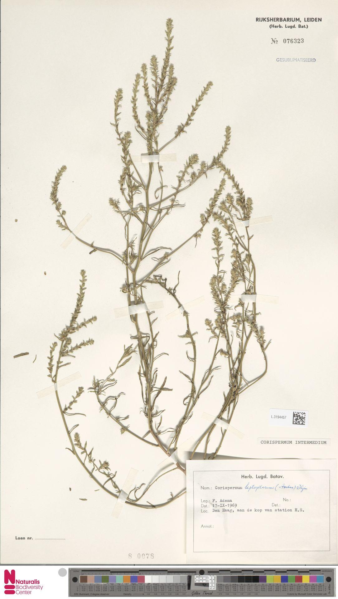 L.3194457   Corispermum intermedium Schweigg.