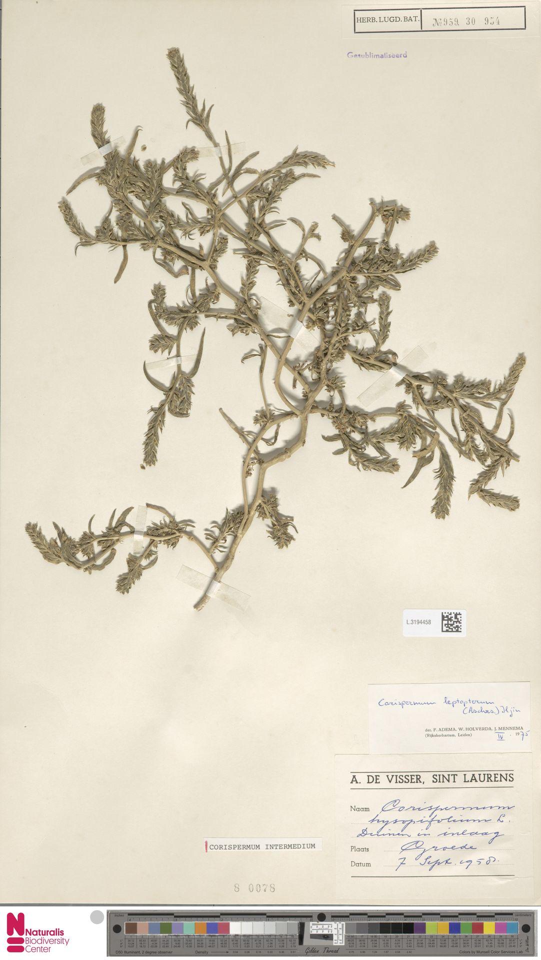 L.3194458 | Corispermum intermedium Schweigg.