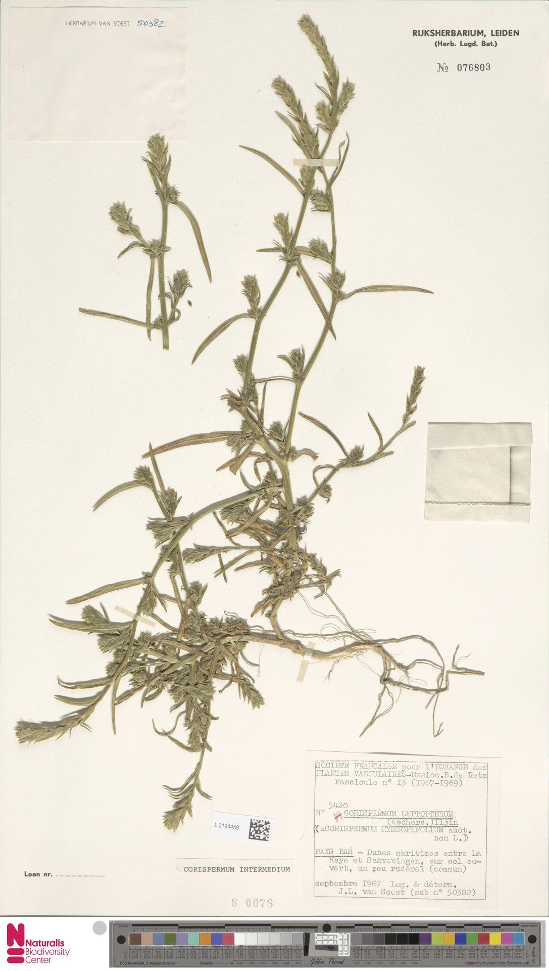 L.3194459 | Corispermum intermedium Schweigg.