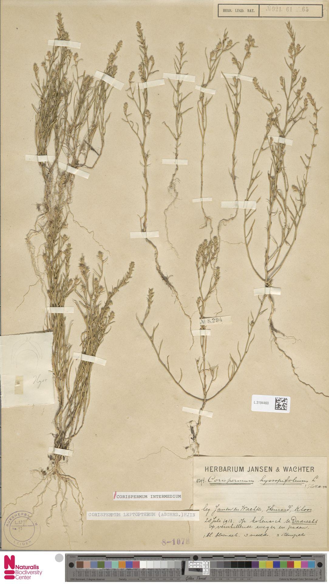 L.3194460 | Corispermum intermedium Schweigg.