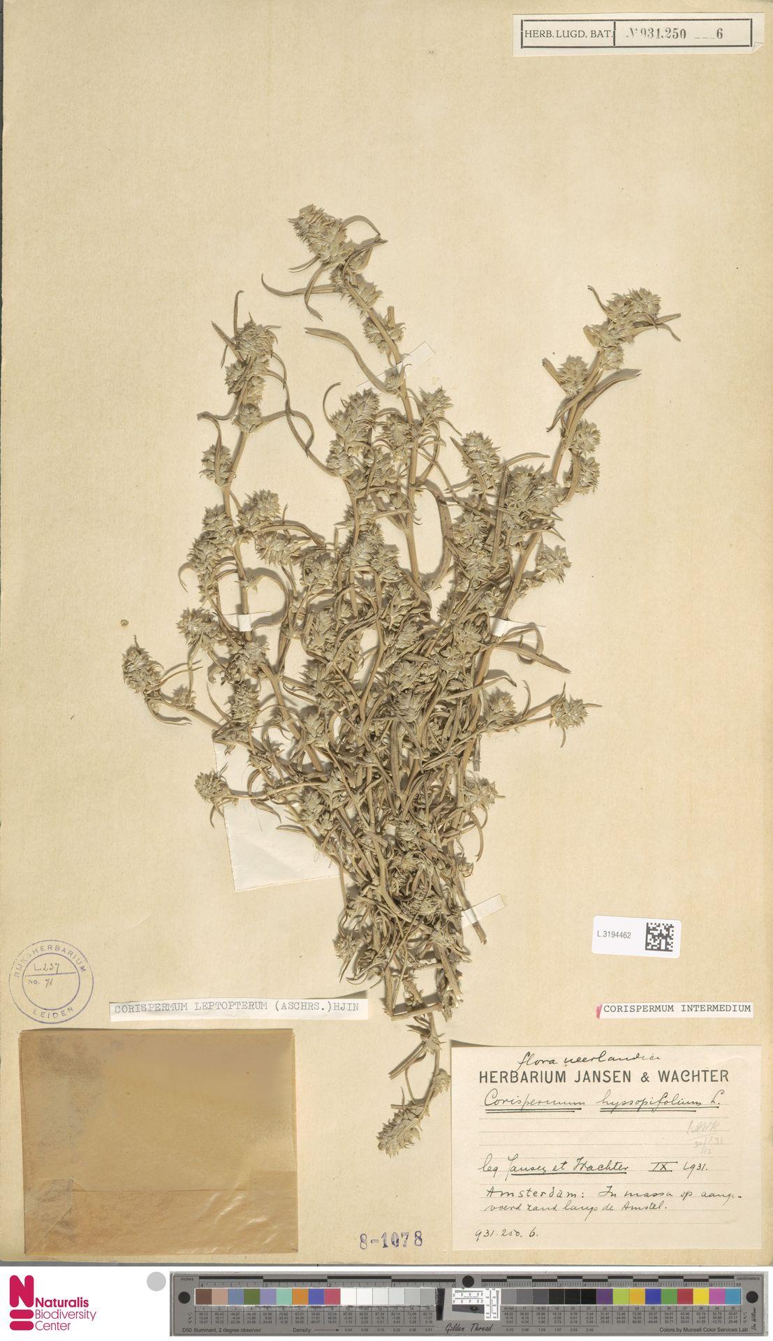 L.3194462 | Corispermum intermedium Schweigg.