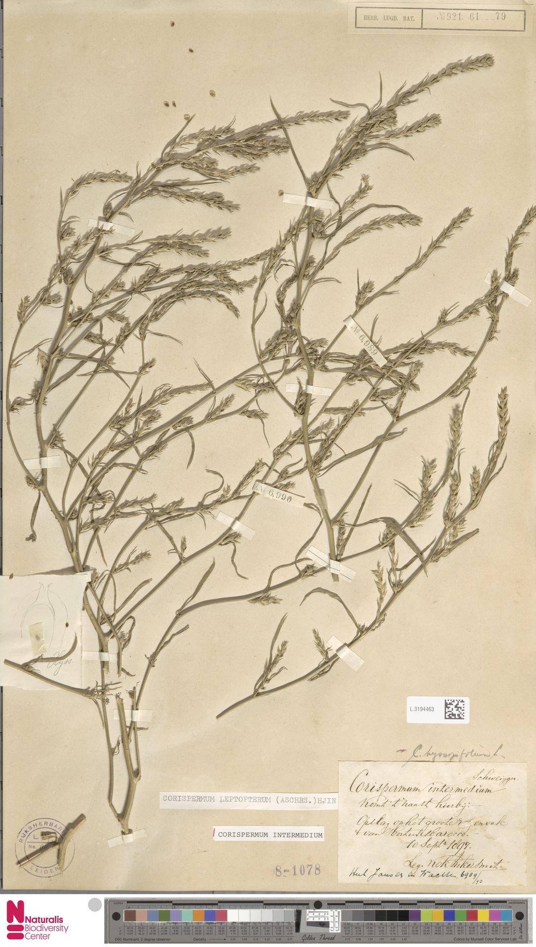L.3194463 | Corispermum intermedium Schweigg.