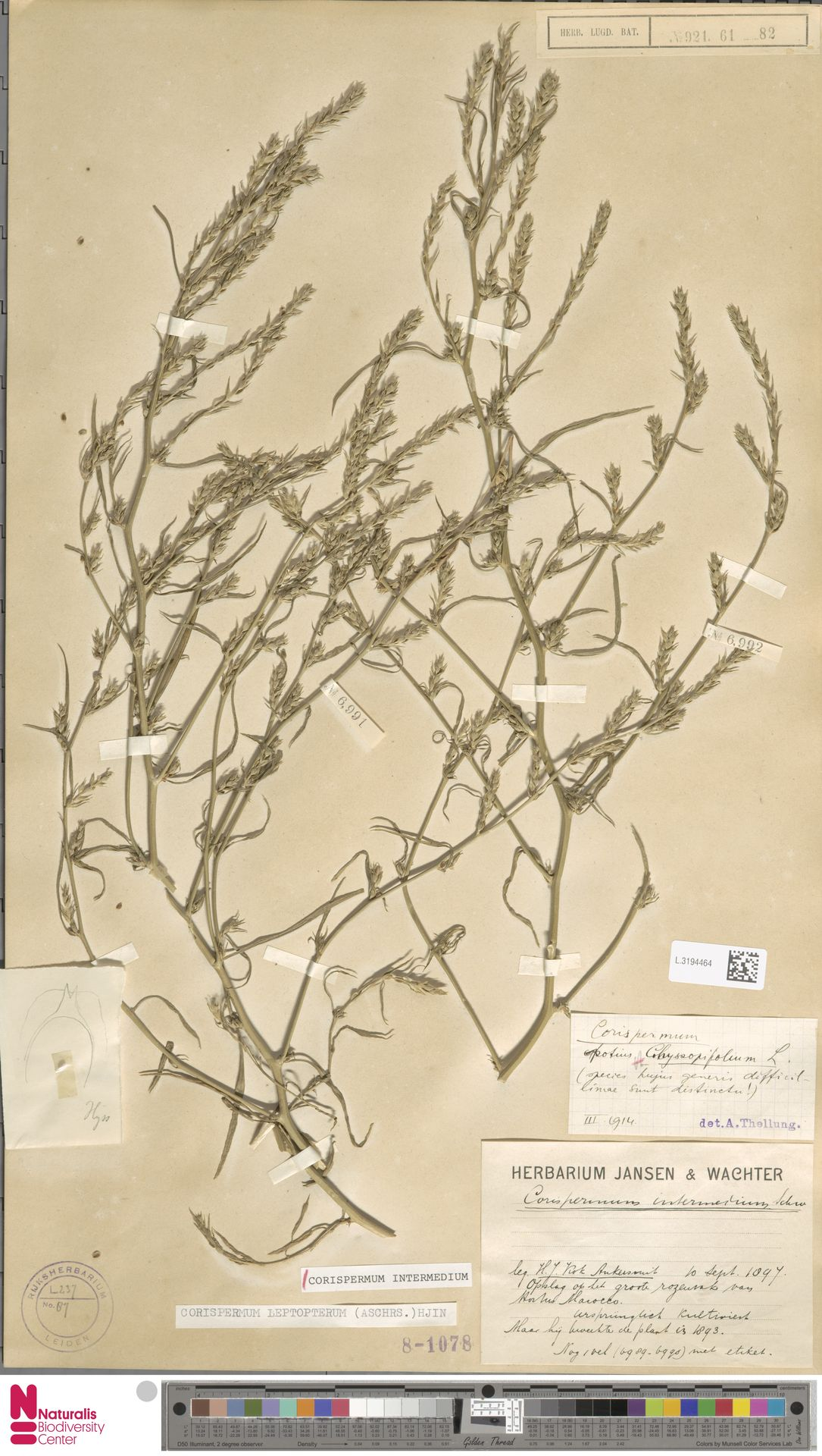 L.3194464 | Corispermum intermedium Schweigg.